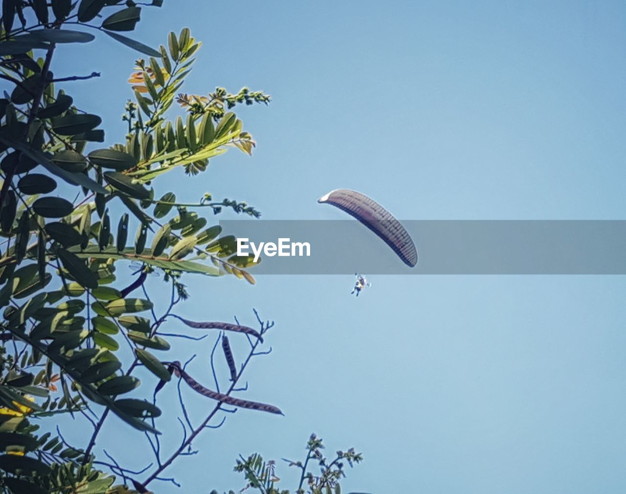 plant, sky, low angle view, parachute, tree, adventure, flying, extreme sports, mid-air, day, clear sky, nature, paragliding, sport, growth, beauty in nature, blue, outdoors, transportation, green color