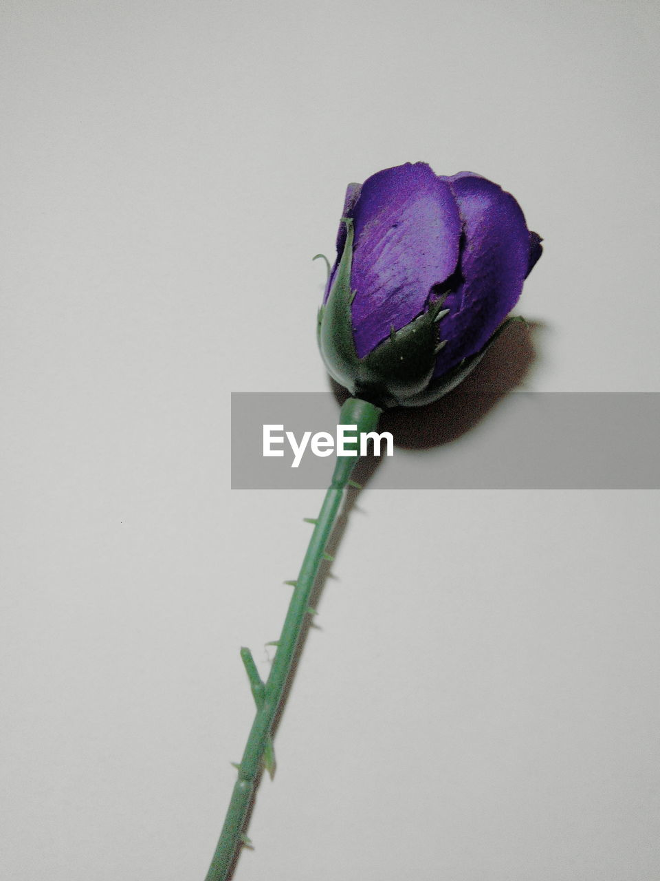 flower, studio shot, white background, freshness, copy space, purple, fragility, nature, petal, no people, close-up, plant, flower head, beauty in nature, day
