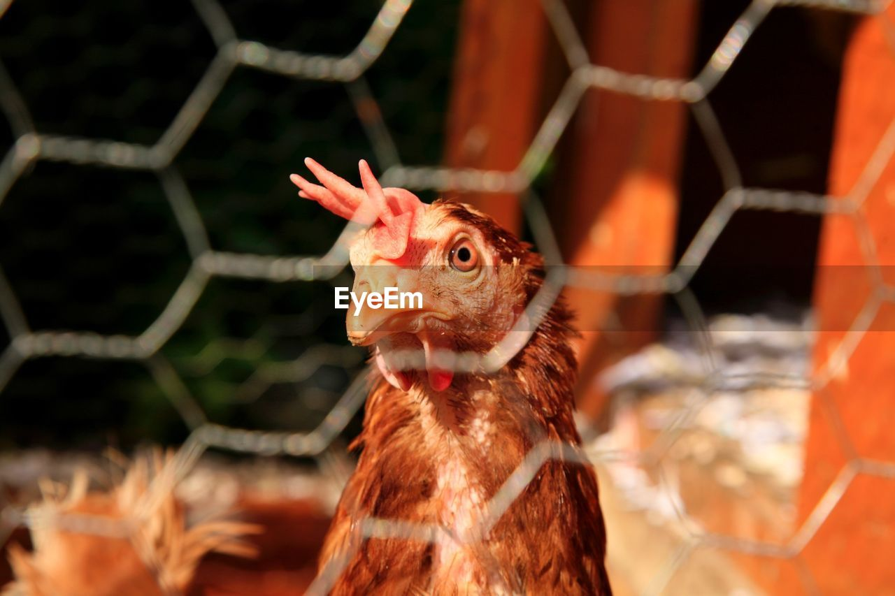 Close-Up Of Chicken Through Cage