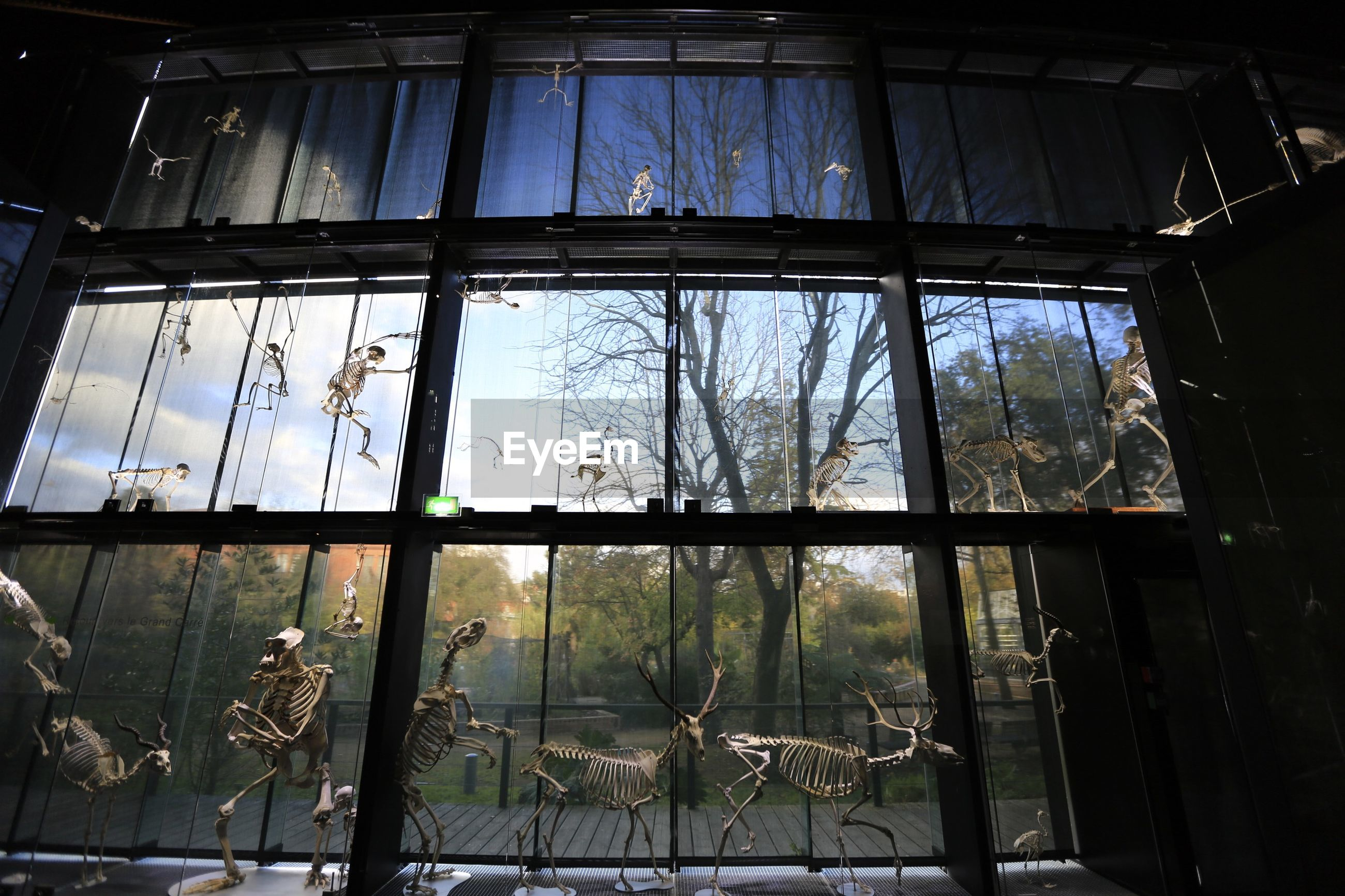 Low angle view of animal skeletons against glass window at museum