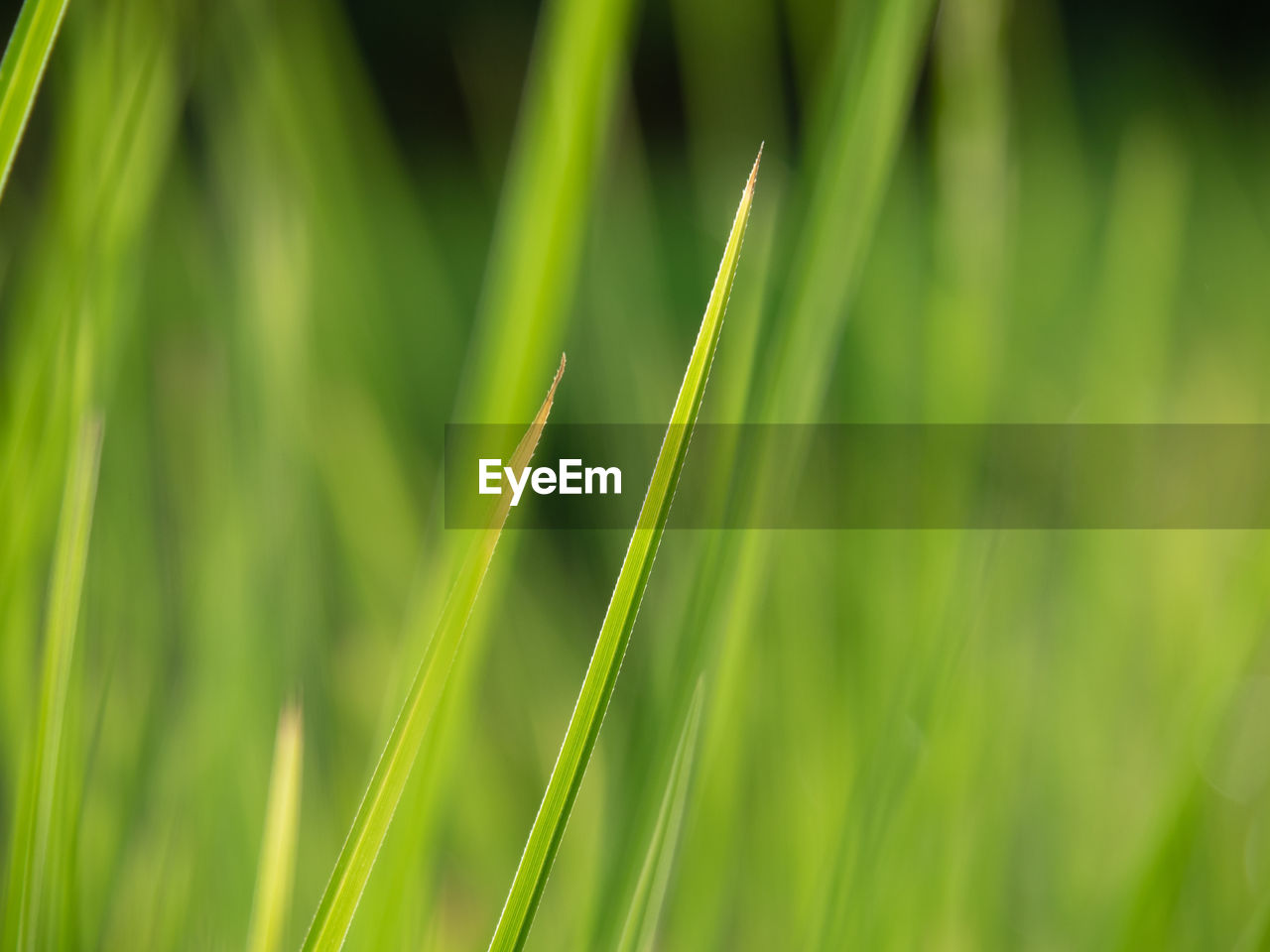 green color, growth, plant, beauty in nature, nature, selective focus, no people, grass, close-up, day, field, tranquility, blade of grass, agriculture, land, crop, focus on foreground, cereal plant, outdoors, rural scene