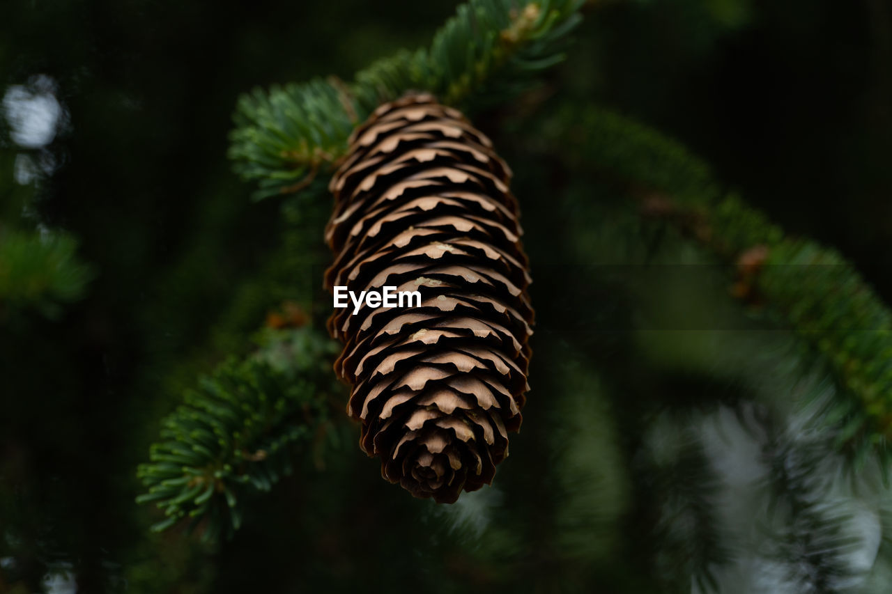 plant, growth, no people, nature, tree, beauty in nature, green color, focus on foreground, pine cone, close-up, pine tree, day, coniferous tree, outdoors, needle - plant part, pinaceae, tranquility, leaf, selective focus, branch