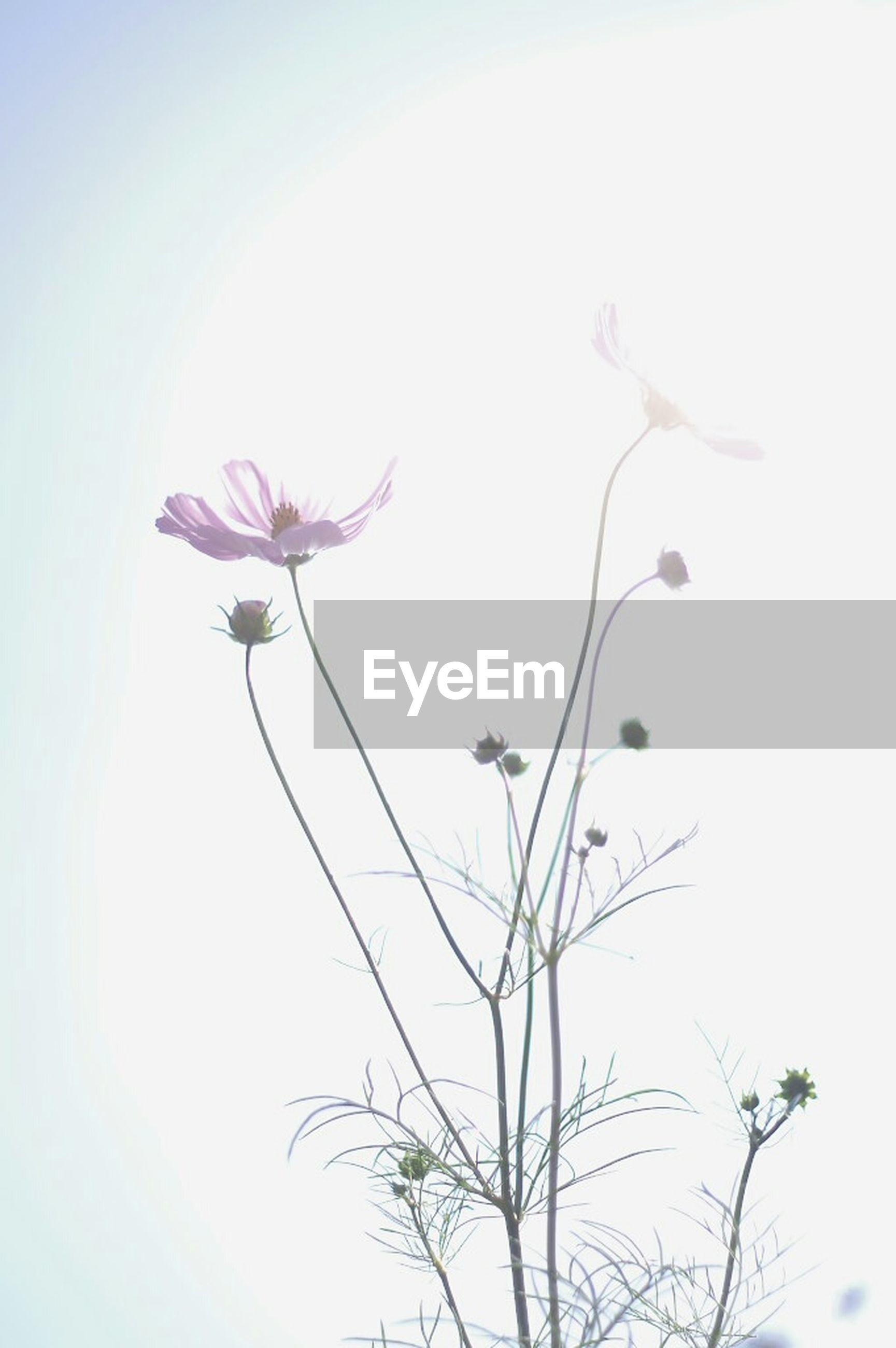 flower, freshness, fragility, growth, petal, low angle view, beauty in nature, stem, nature, flower head, clear sky, blooming, plant, in bloom, blossom, sky, copy space, close-up, springtime, bud