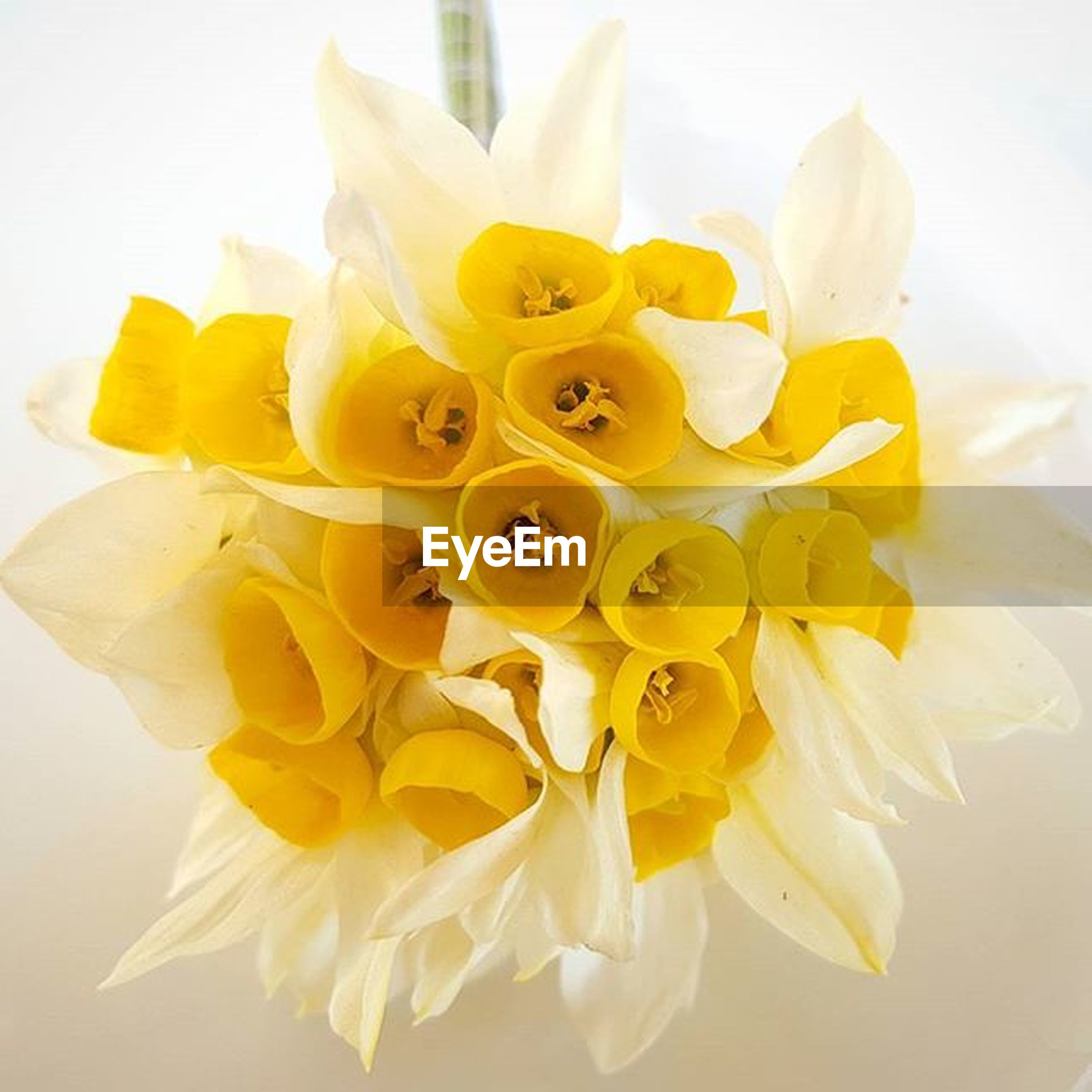 flower, petal, yellow, flower head, freshness, fragility, indoors, white background, studio shot, close-up, beauty in nature, white color, pollen, still life, no people, nature, vase, orchid, decoration, high angle view