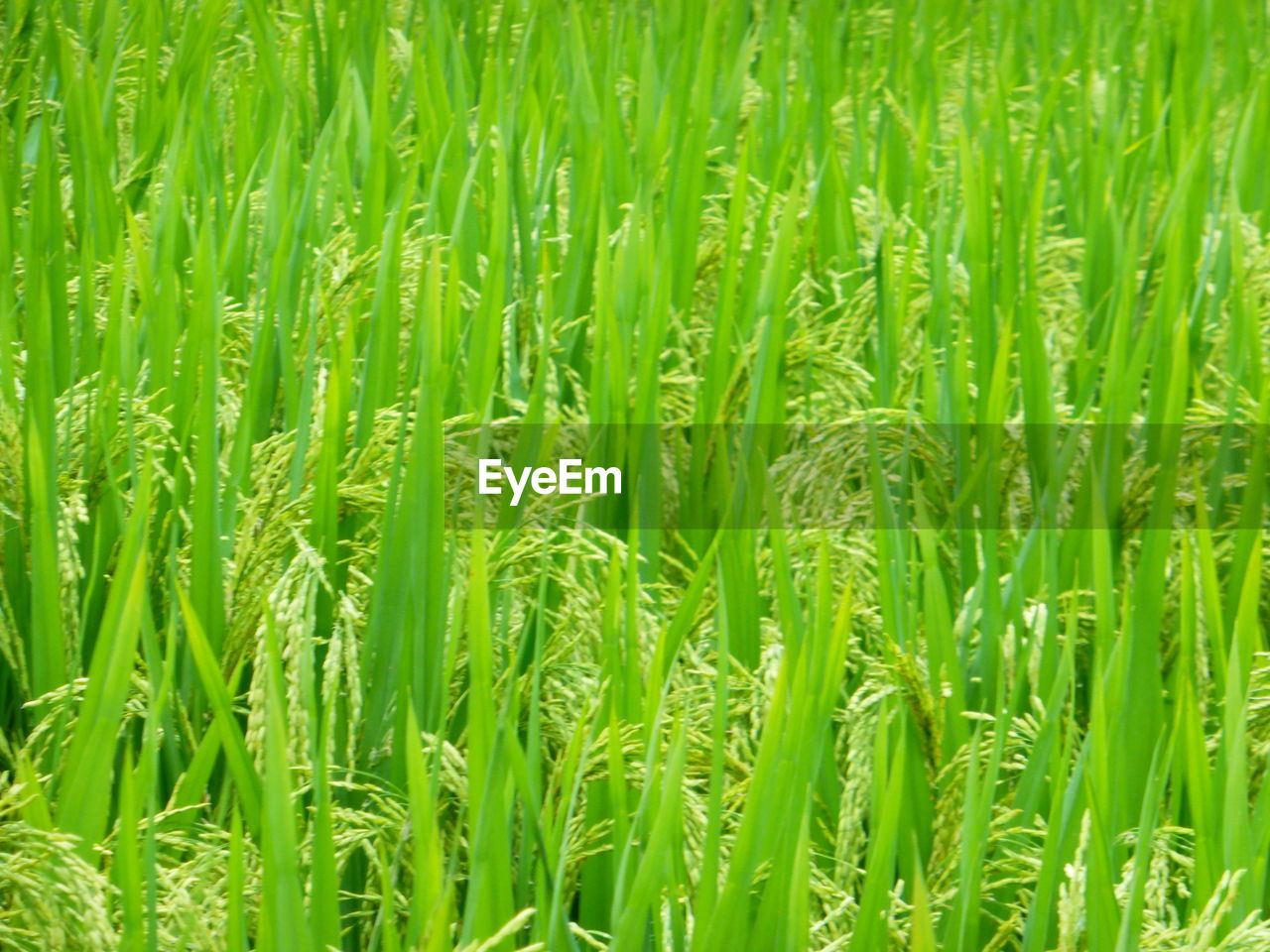 green color, plant, field, agriculture, growth, cereal plant, backgrounds, rural scene, full frame, crop, land, farm, beauty in nature, no people, landscape, nature, day, close-up, rice - cereal plant, freshness, outdoors, plantation, blade of grass