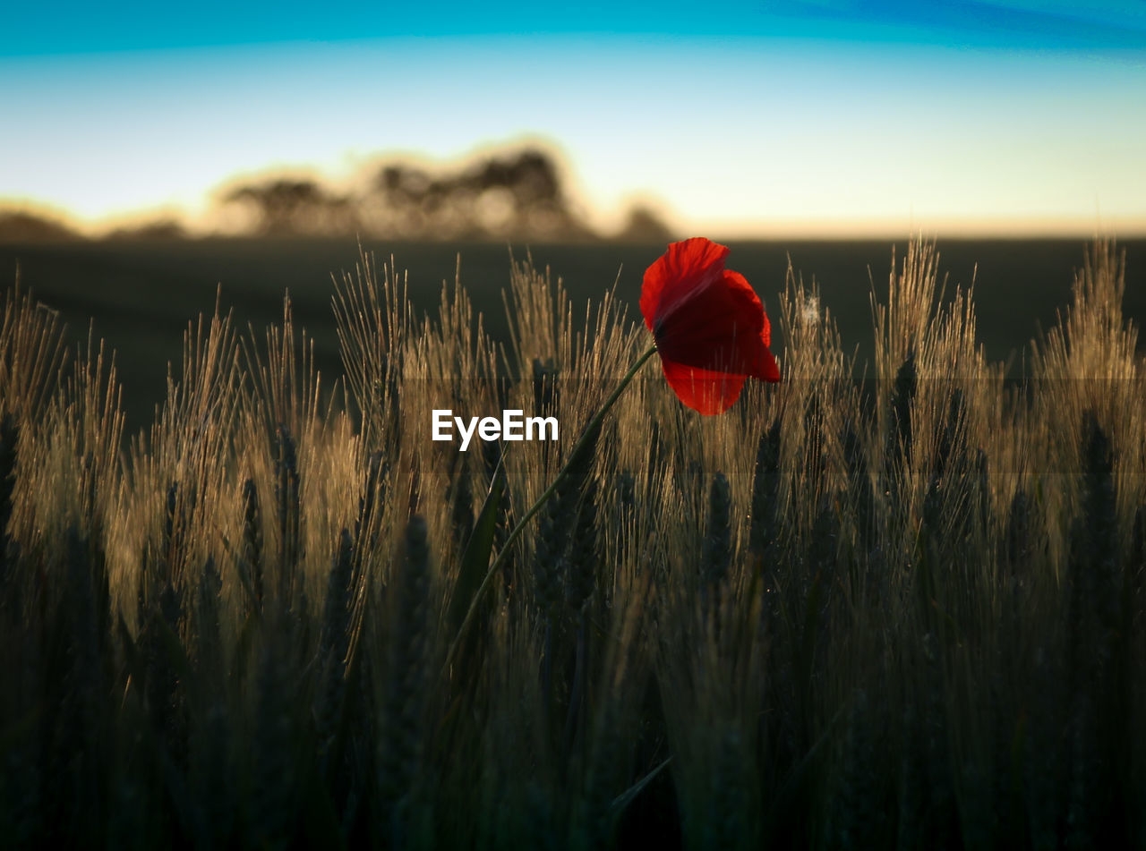 flower, nature, beauty in nature, red, growth, plant, field, no people, grass, outdoors, poppy, tranquility, day, fragility, sunset, rural scene, close-up, flower head, freshness, sky