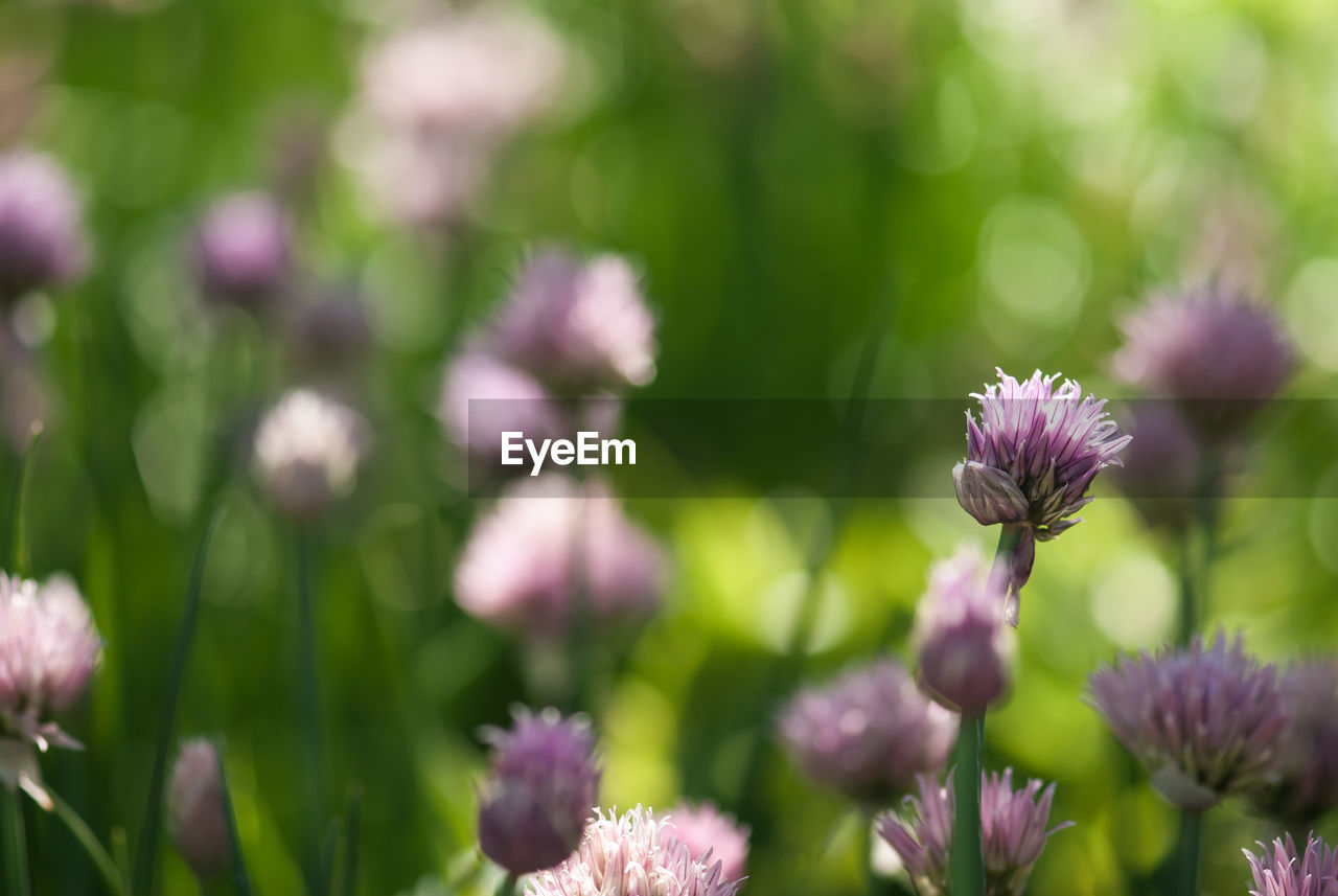 flowering plant, flower, plant, fragility, vulnerability, beauty in nature, growth, freshness, close-up, flower head, petal, inflorescence, nature, no people, day, purple, focus on foreground, selective focus, pink color, outdoors