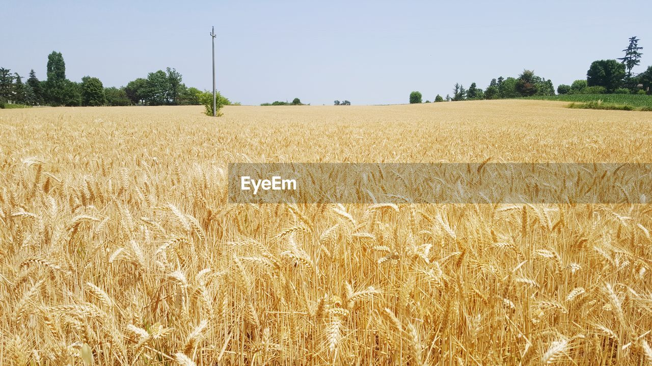 agriculture, field, land, landscape, plant, rural scene, growth, crop, farm, sky, cereal plant, tranquility, environment, tranquil scene, beauty in nature, nature, wheat, day, scenics - nature, no people, outdoors, plantation, stalk