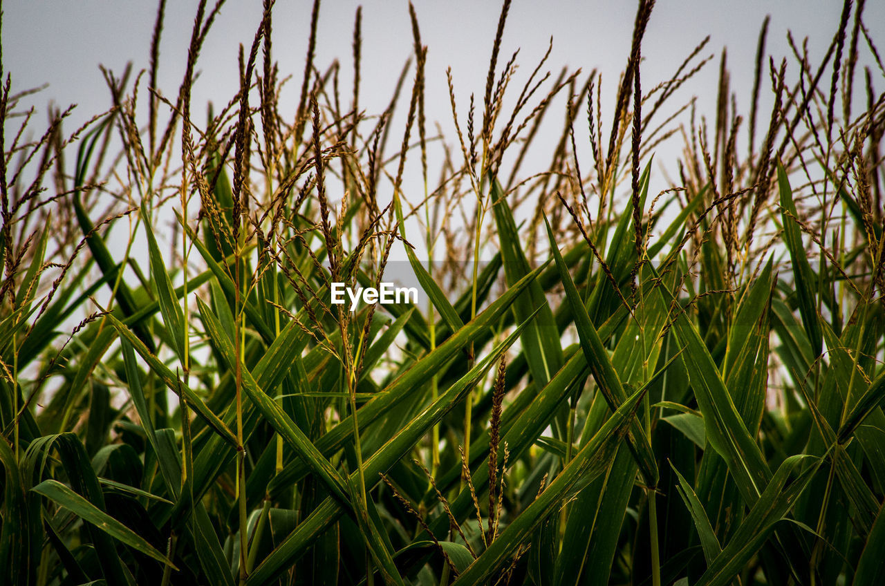growth, plant, green color, beauty in nature, tranquility, land, field, close-up, nature, agriculture, day, crop, no people, rural scene, landscape, focus on foreground, farm, cereal plant, sky, outdoors, blade of grass