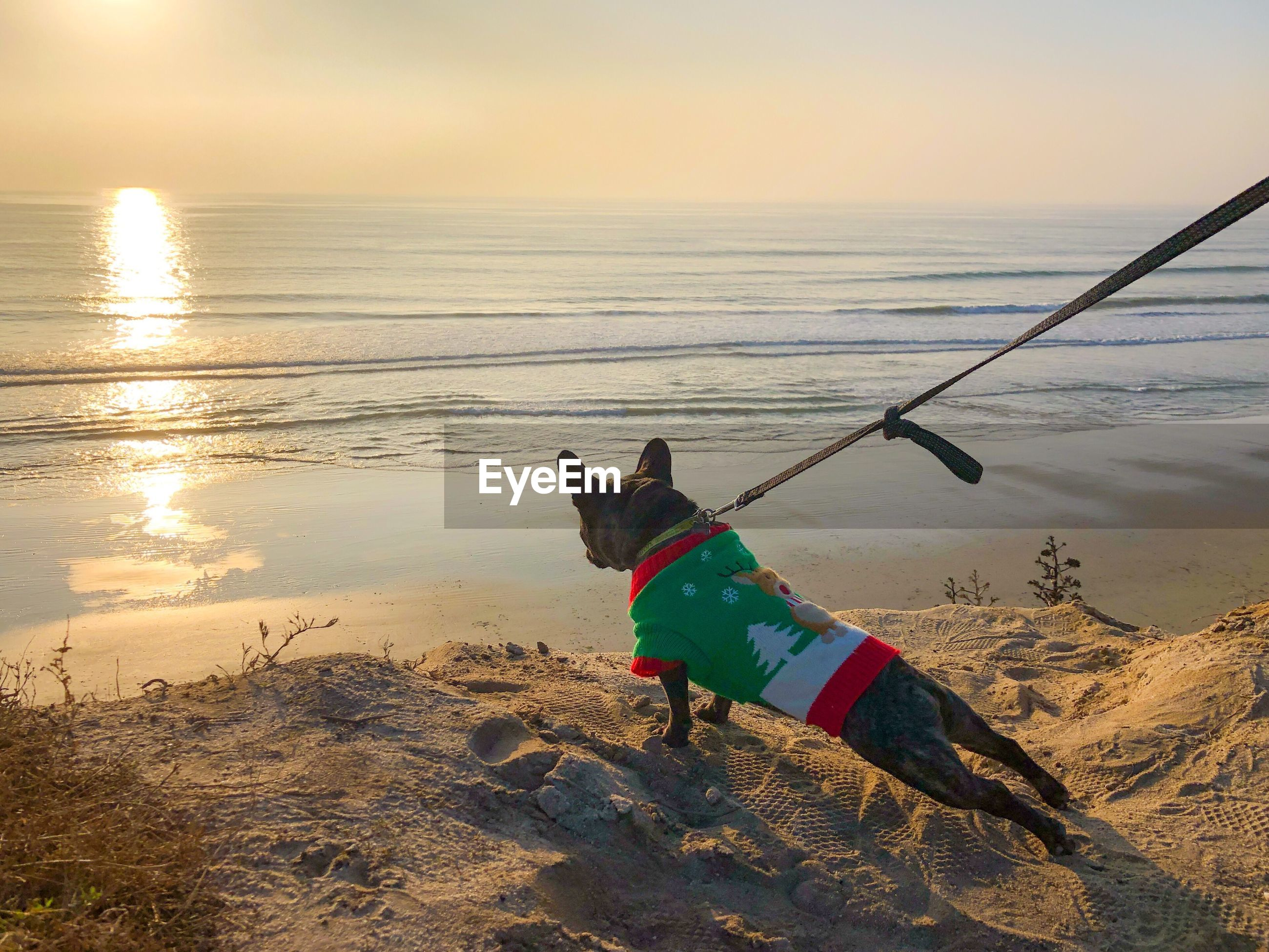 French bulldog in holiday sweater overlooking ocean and beach in carlsbad, san diego, california