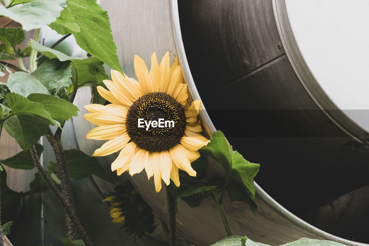 flowering plant, flower, plant, petal, inflorescence, beauty in nature, flower head, freshness, vulnerability, growth, fragility, pollen, close-up, yellow, nature, leaf, sunflower, plant part, no people