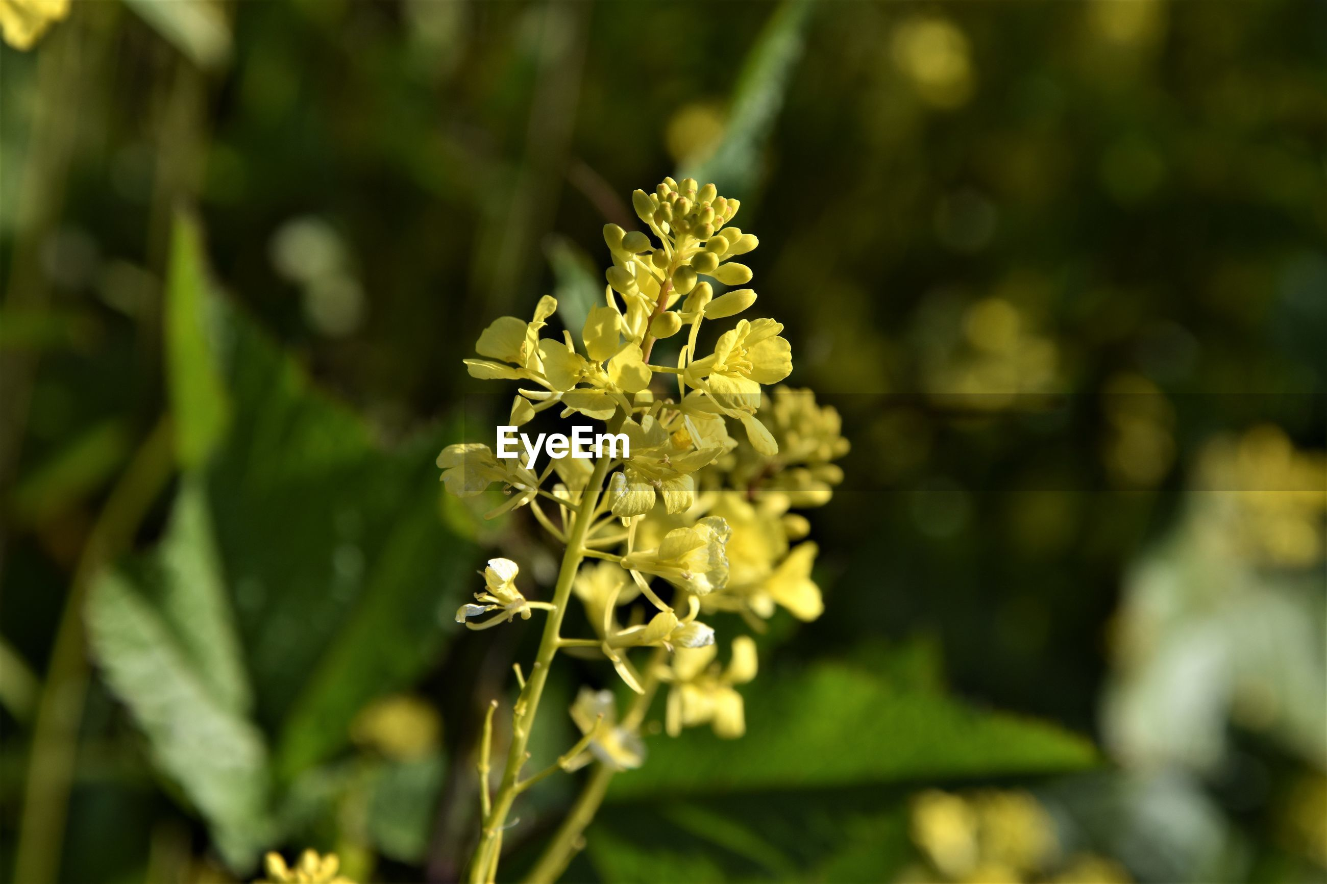 CLOSE-UP OF YELLOW FLOWERING PLANT OUTDOORS