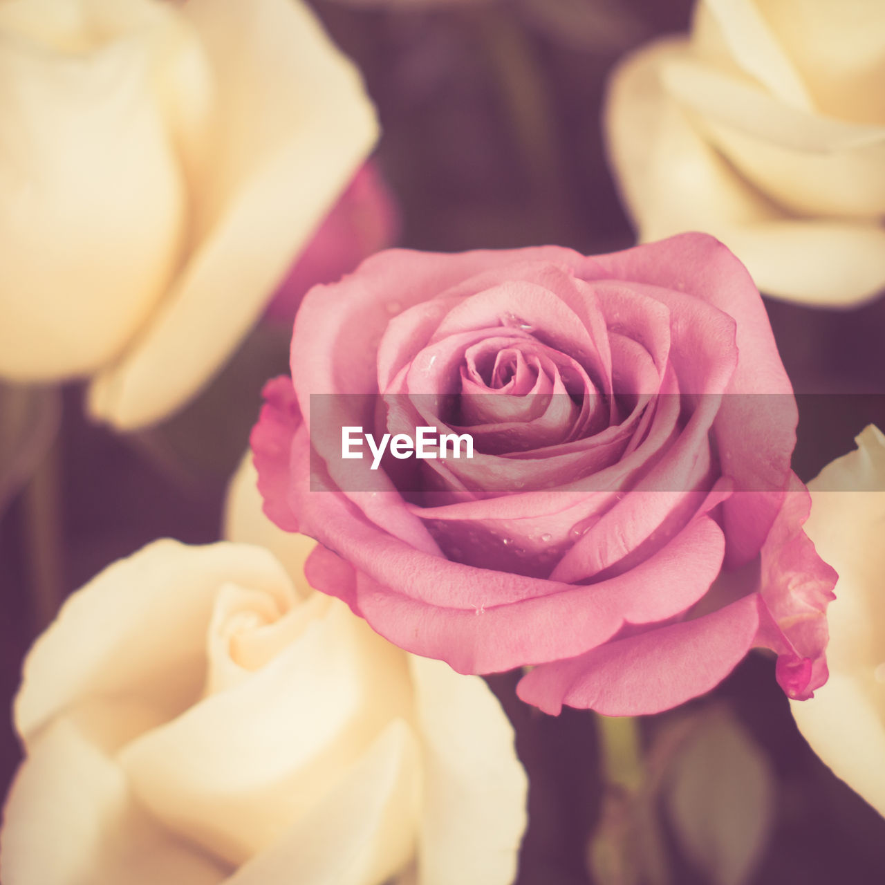 flower, flowering plant, beauty in nature, rose, freshness, plant, rose - flower, petal, inflorescence, close-up, flower head, vulnerability, fragility, nature, pink color, no people, focus on foreground, selective focus, indoors, growth, flower arrangement, bouquet