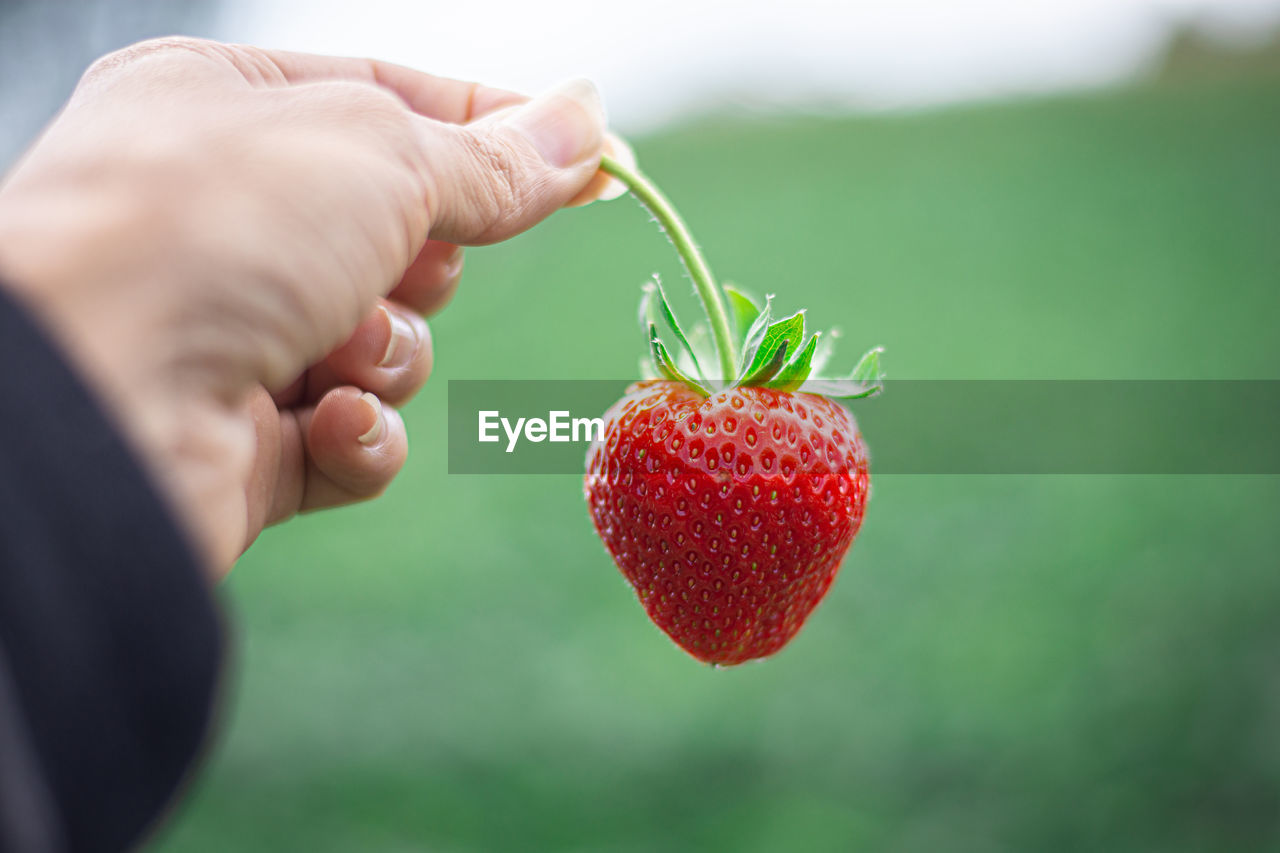human hand, hand, fruit, food and drink, human body part, one person, healthy eating, food, real people, holding, freshness, strawberry, wellbeing, berry fruit, red, close-up, unrecognizable person, body part, focus on foreground, finger, ripe