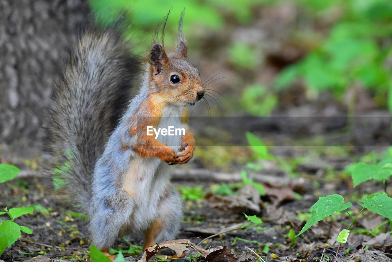 rodent, animal, animal themes, one animal, animal wildlife, mammal, squirrel, animals in the wild, land, no people, nature, vertebrate, focus on foreground, field, close-up, day, eating, plant, food, selective focus, outdoors, whisker