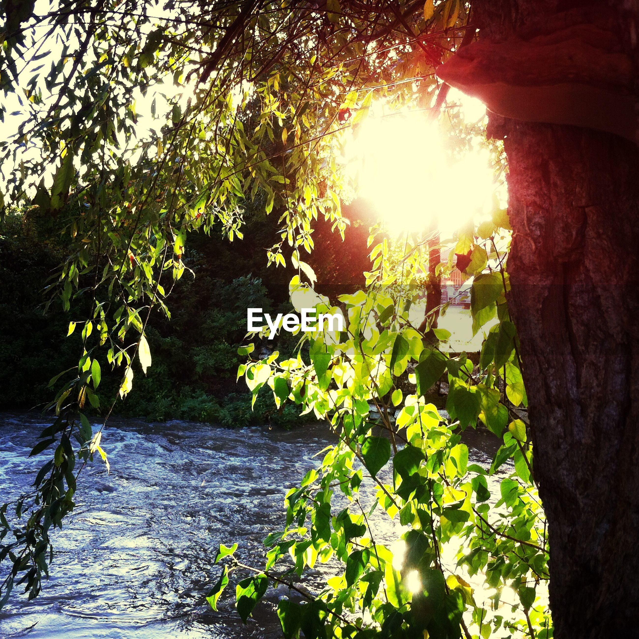 sun, growth, tree, sunlight, sunbeam, lens flare, nature, plant, beauty in nature, tranquility, low angle view, leaf, green color, growing, branch, outdoors, sunny, no people, day, tranquil scene