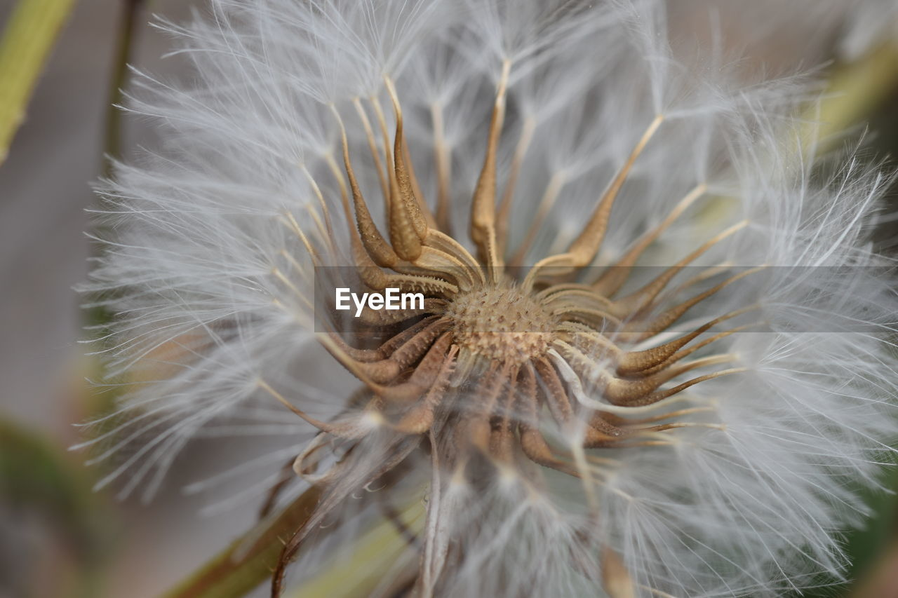 flower, vulnerability, fragility, flowering plant, close-up, plant, beauty in nature, no people, inflorescence, growth, dandelion, white color, freshness, flower head, softness, selective focus, nature, day, focus on foreground, dandelion seed