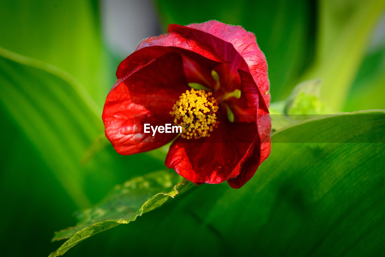 red, flower, petal, beauty in nature, nature, fragility, growth, leaf, green color, freshness, flower head, plant, outdoors, day, no people, close-up, hibiscus, blooming