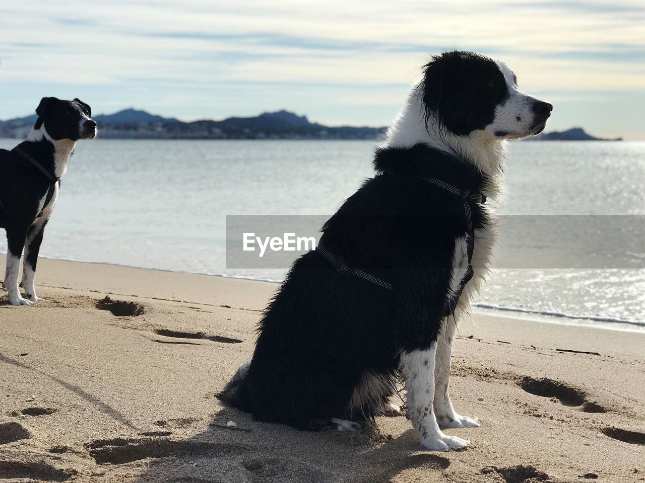 pets, domestic animals, domestic, dog, canine, mammal, animal, animal themes, one animal, water, sea, vertebrate, beach, land, sky, nature, sand, looking, looking away, no people, outdoors, border collie