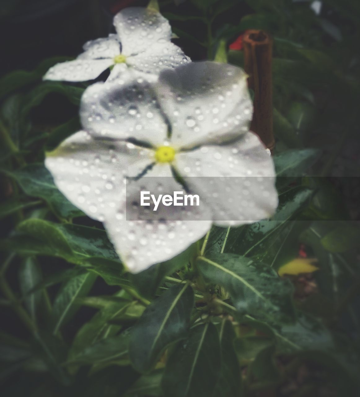 flower, petal, white color, growth, fragility, wet, nature, close-up, beauty in nature, no people, flower head, leaf, freshness, day, periwinkle, outdoors