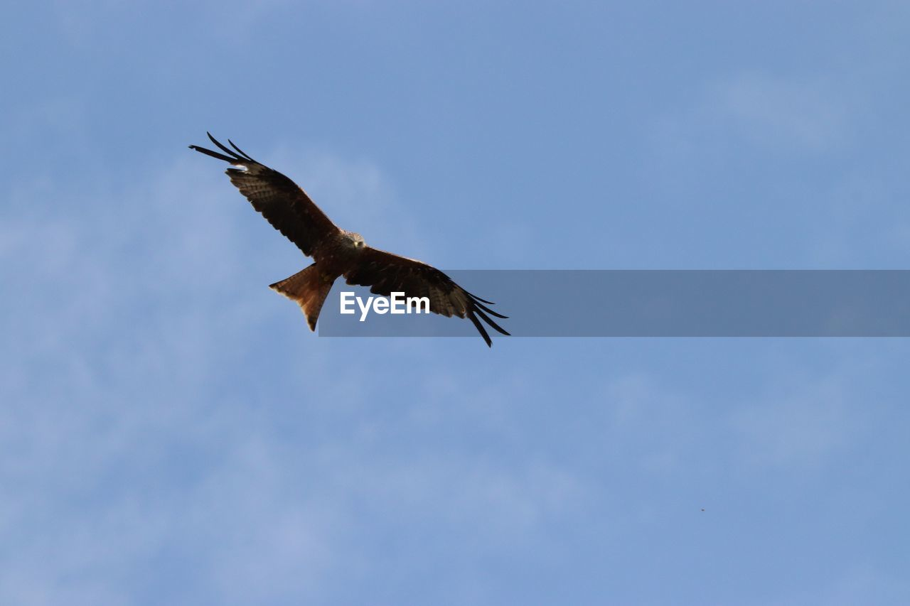 flying, bird, animals in the wild, animal wildlife, spread wings, vertebrate, sky, low angle view, animal, animal themes, one animal, mid-air, cloud - sky, bird of prey, no people, nature, motion, day, freedom, blue, eagle