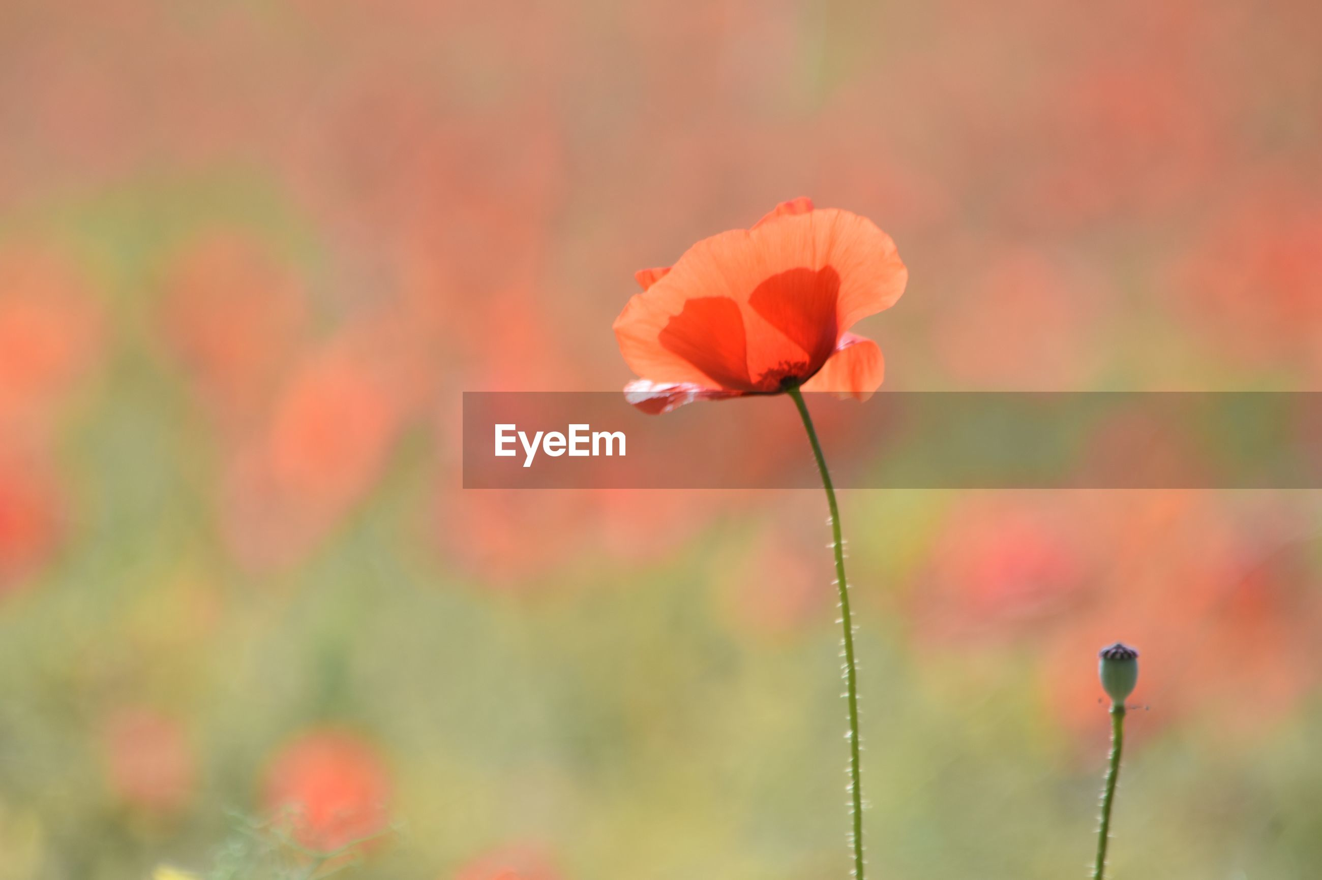 flowering plant, flower, freshness, fragility, vulnerability, plant, beauty in nature, petal, growth, close-up, focus on foreground, flower head, plant stem, no people, inflorescence, nature, red, outdoors, poppy, orange color, orange
