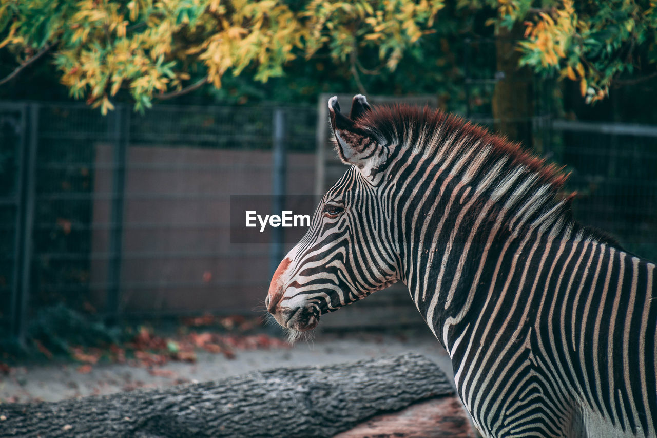 animal themes, animal, animal wildlife, animals in the wild, one animal, mammal, focus on foreground, striped, animal markings, day, no people, vertebrate, nature, zoo, animals in captivity, zebra, outdoors, tiger, side view, domestic animals