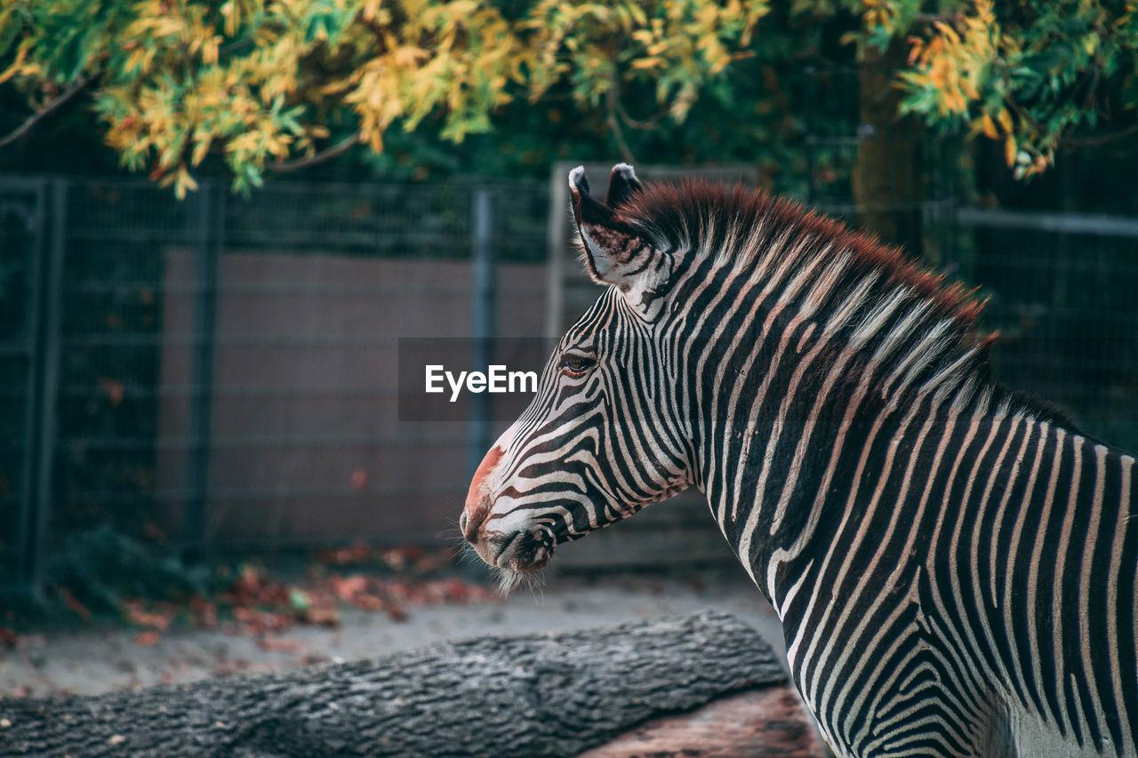 Side view of zebra in zoo