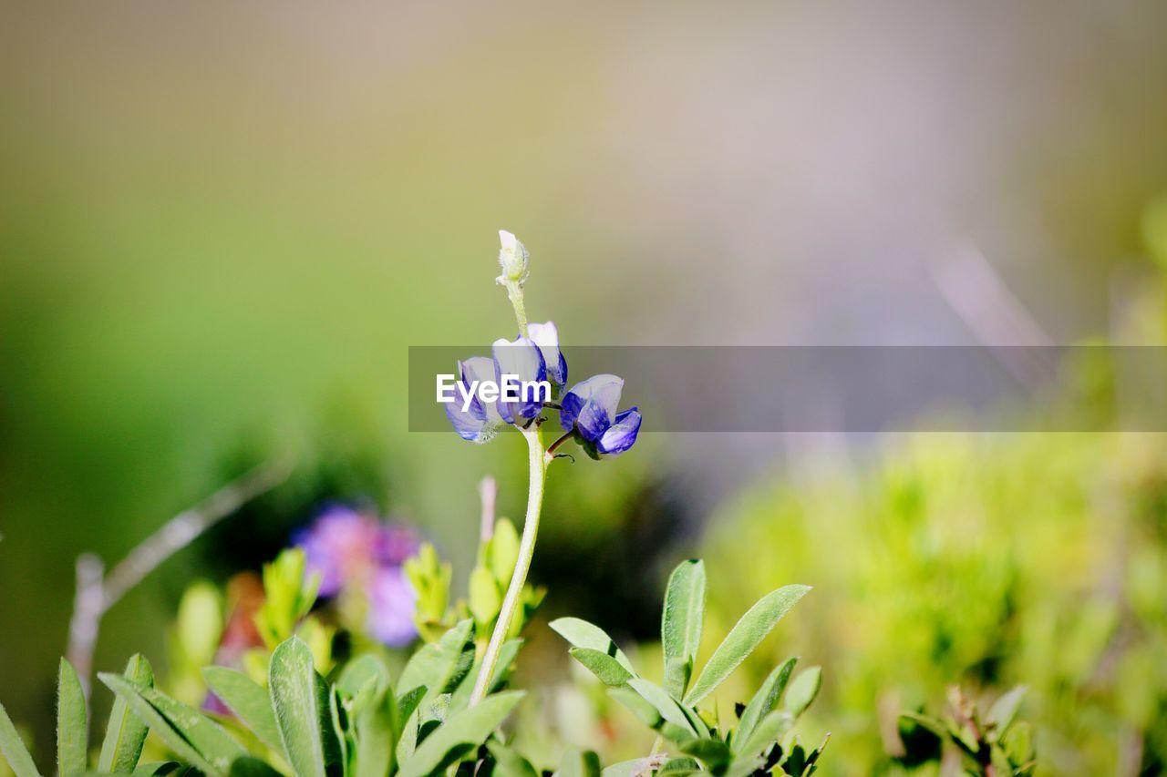 CLOSE-UP OF HONEY BEE ON PURPLE FLOWER BLOOMING IN FIELD