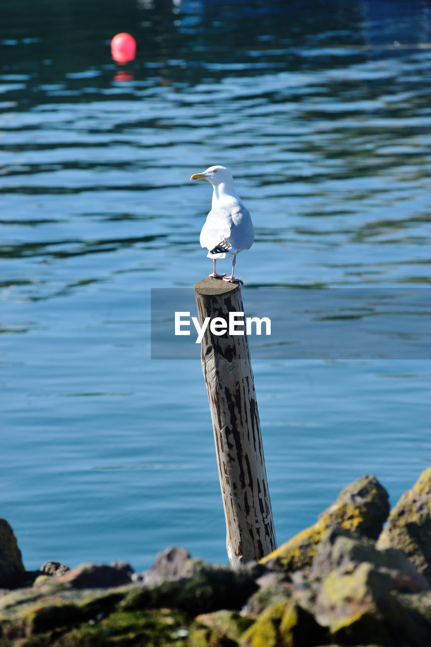 SEAGULL PERCHING ON WOODEN POST AT SEA