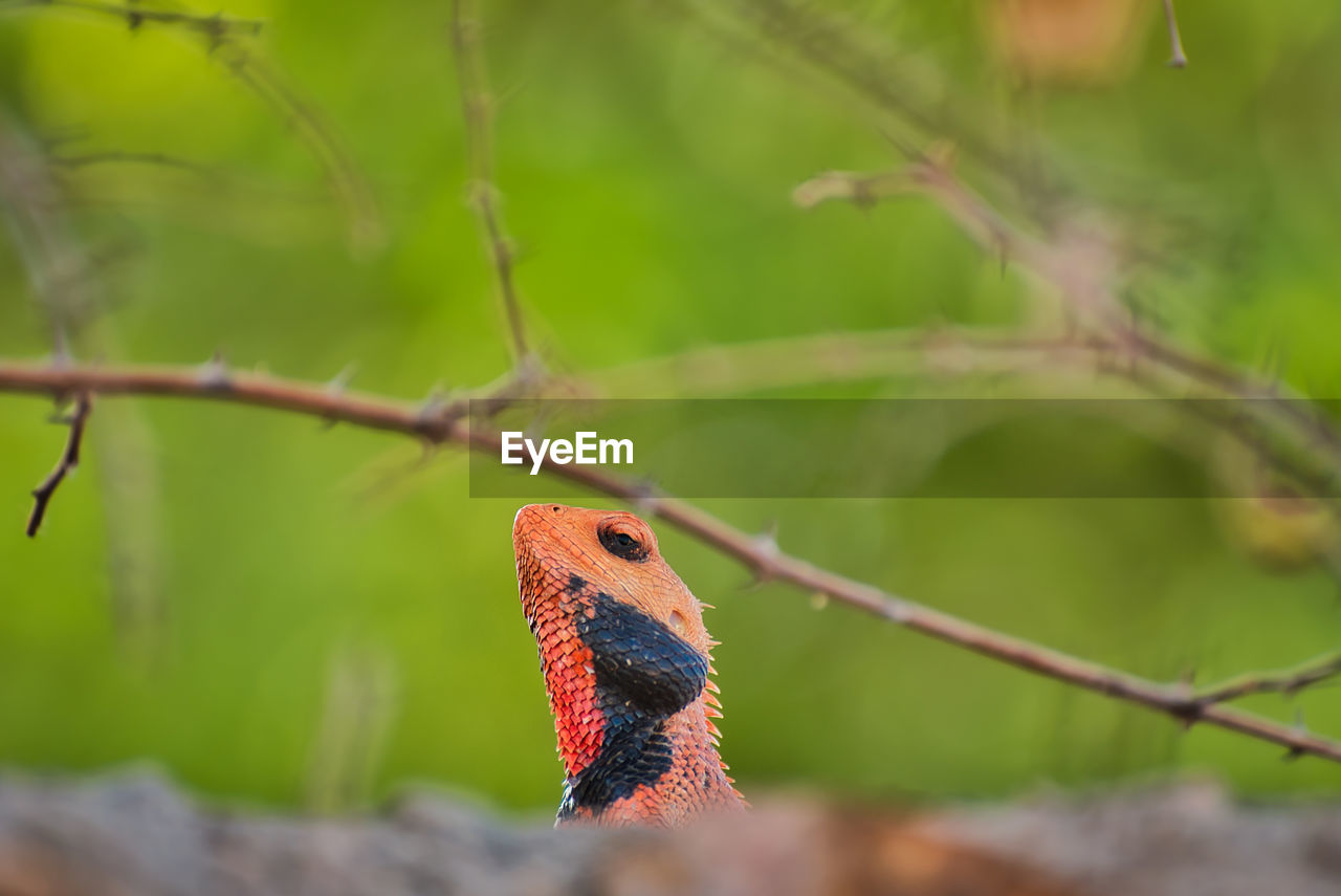 animal themes, animal, one animal, animal wildlife, animals in the wild, vertebrate, plant, close-up, focus on foreground, nature, no people, day, selective focus, tree, branch, outdoors, green color, lizard, animal body part, looking, animal eye