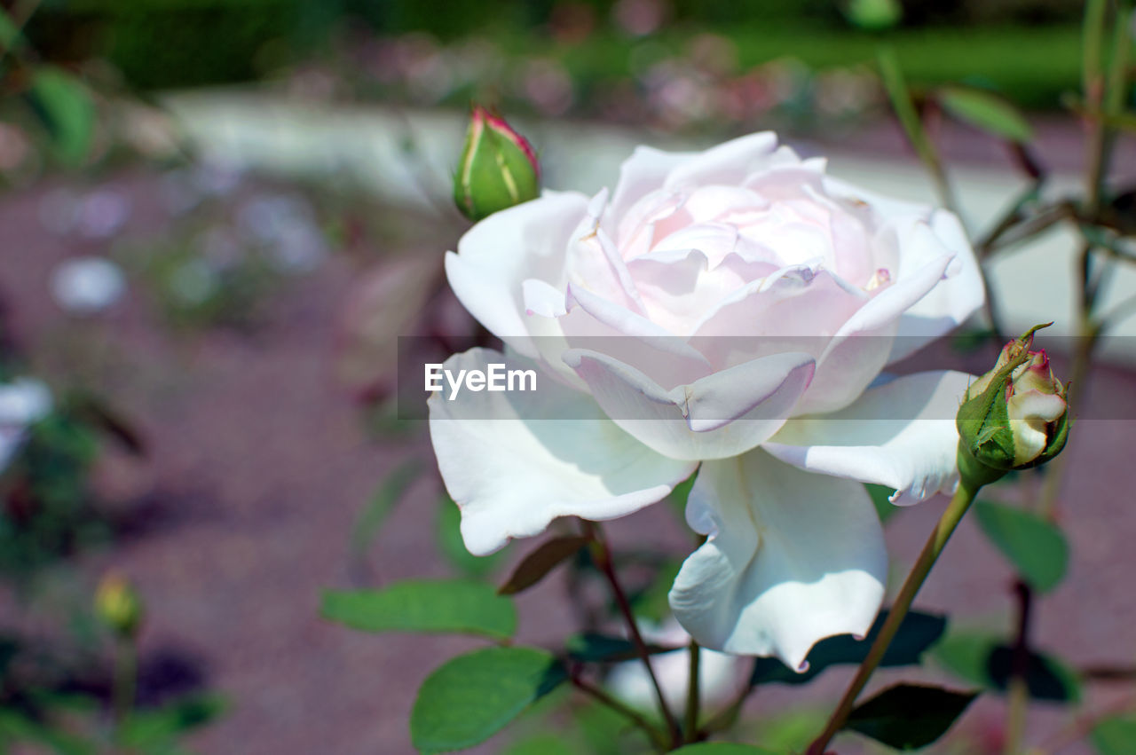 flowering plant, flower, plant, petal, beauty in nature, vulnerability, fragility, flower head, inflorescence, growth, freshness, close-up, rose, no people, nature, rose - flower, day, focus on foreground, white color