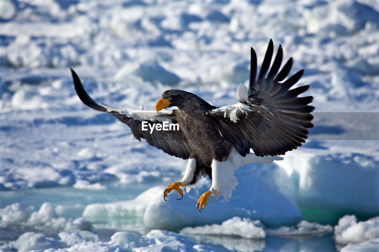 Close-Up Of Eagle Flying In Winter