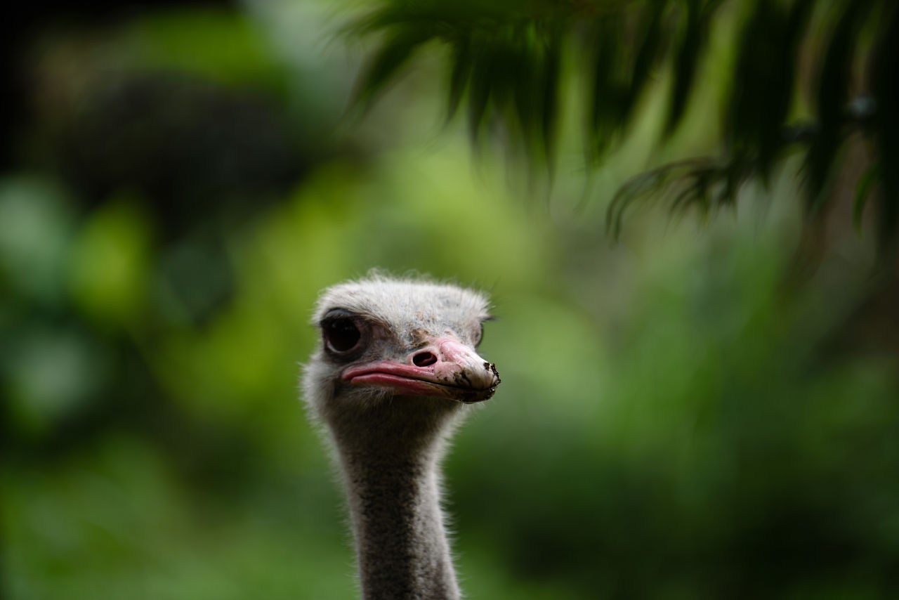ostrich, bird, animal, animals in the wild, one animal, animal themes, animal wildlife, vertebrate, focus on foreground, animal body part, close-up, animal head, portrait, day, no people, nature, beak, green color, looking at camera, outdoors, animal neck