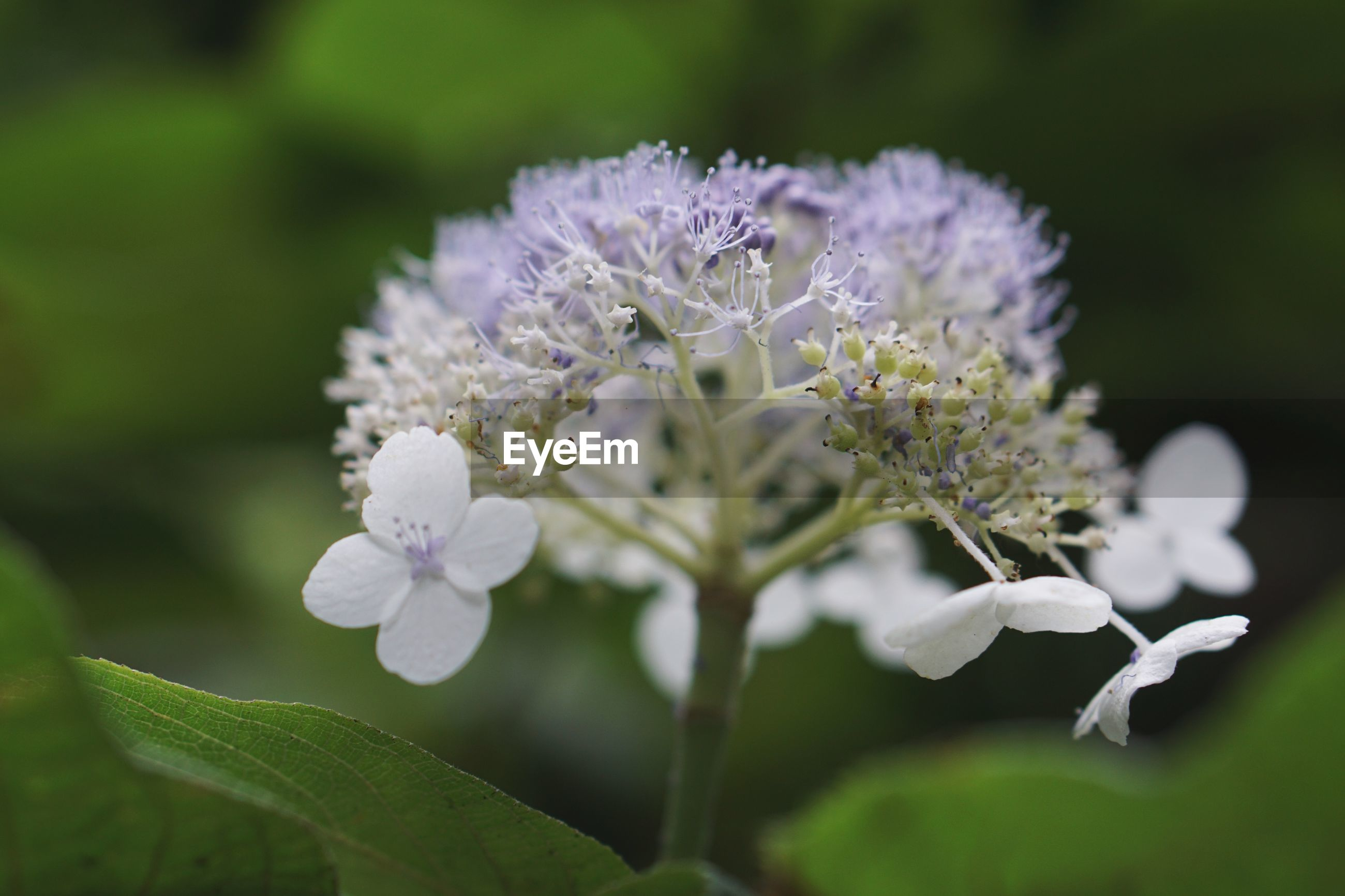 flower, flowering plant, plant, vulnerability, fragility, growth, beauty in nature, freshness, close-up, petal, white color, flower head, inflorescence, selective focus, focus on foreground, no people, plant part, nature, leaf, day, purple, pollen, softness
