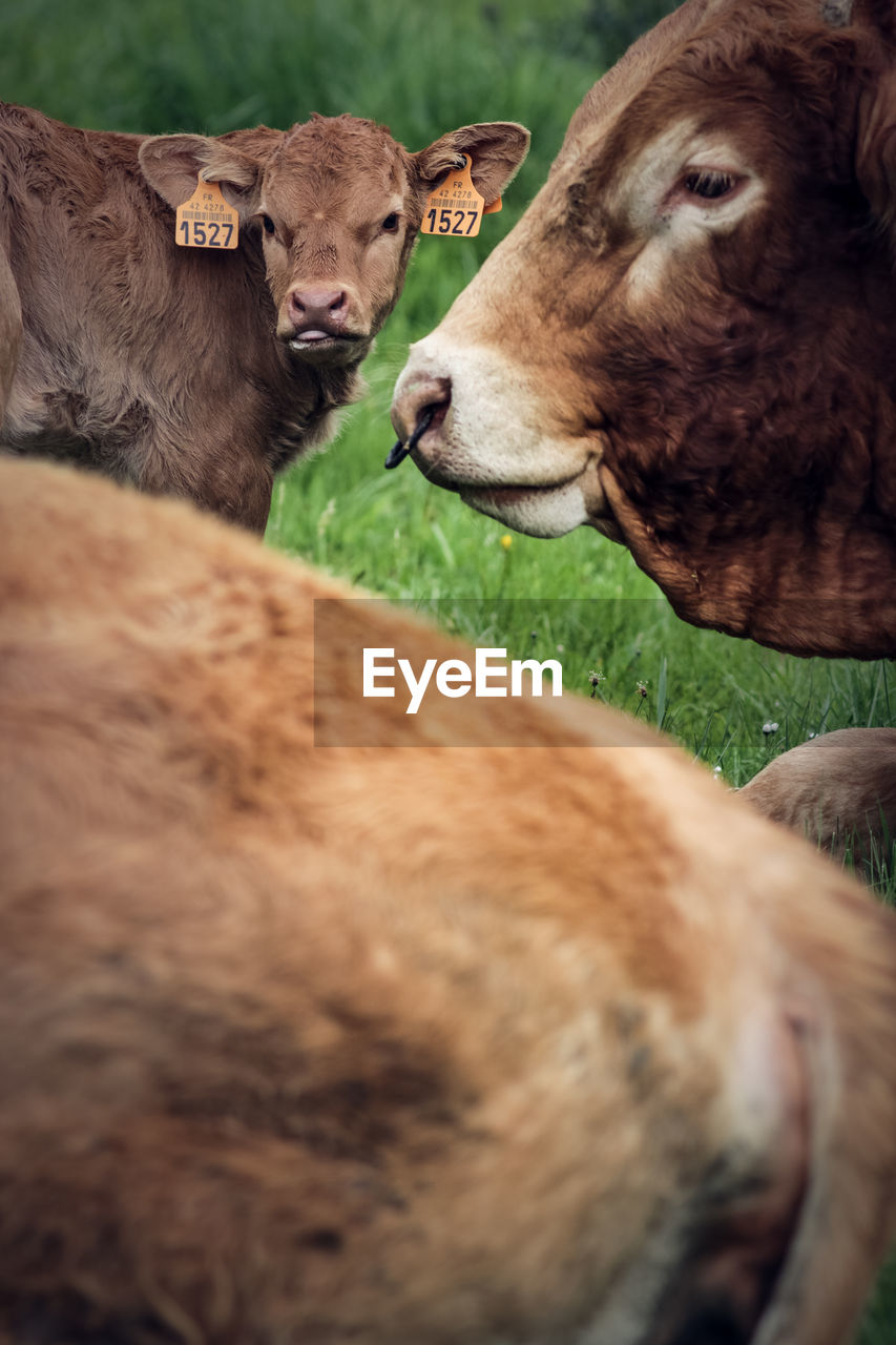 mammal, animal themes, animal, domestic animals, group of animals, livestock, vertebrate, domestic, pets, cattle, cow, no people, field, land, day, two animals, nature, selective focus, domestic cattle, grass, outdoors, herbivorous, animal head