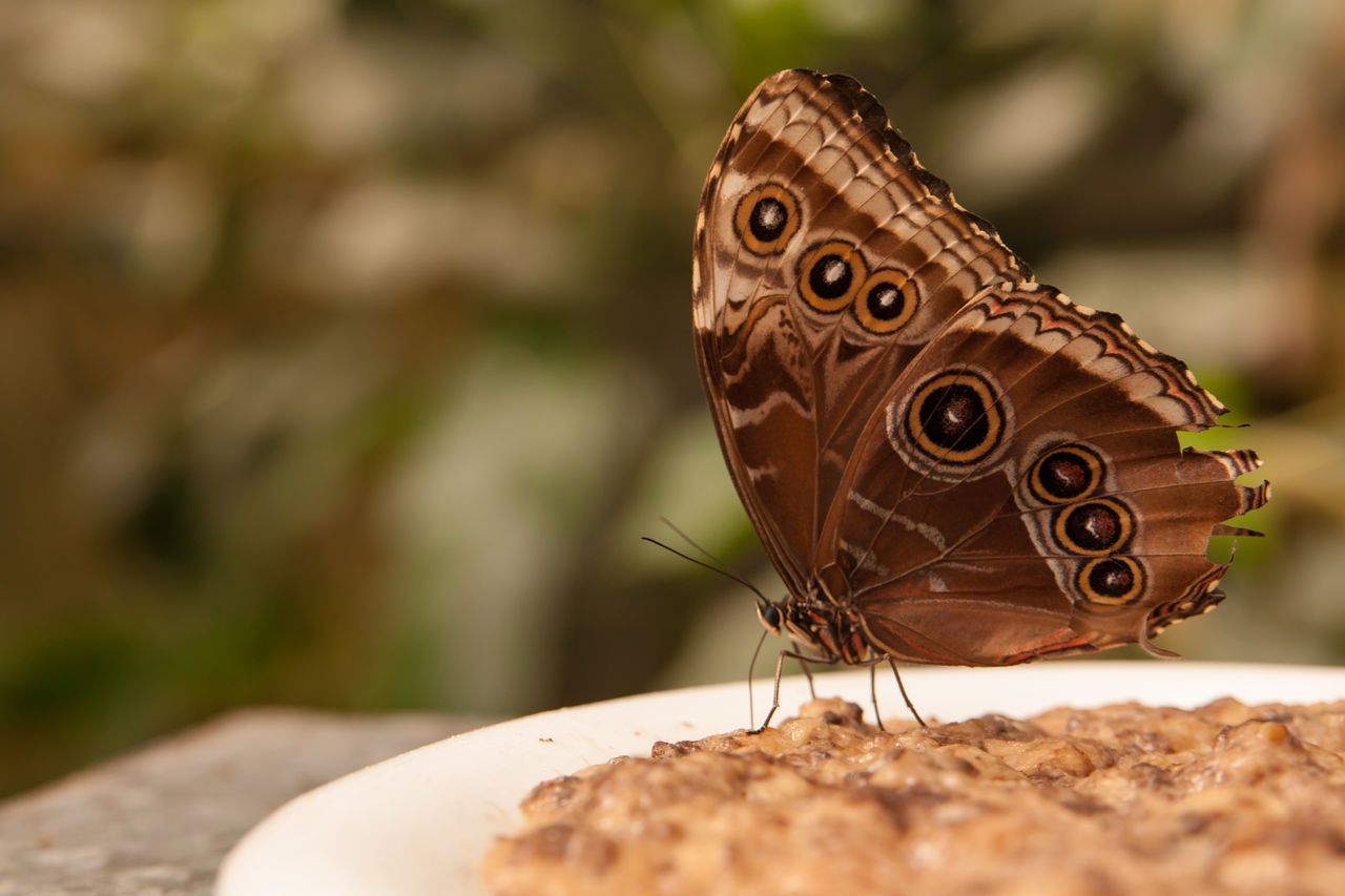 animal wildlife, animals in the wild, animal themes, animal, butterfly - insect, invertebrate, insect, close-up, one animal, animal wing, selective focus, focus on foreground, day, nature, animal body part, beauty in nature, no people, brown, animal markings, animal antenna, butterfly