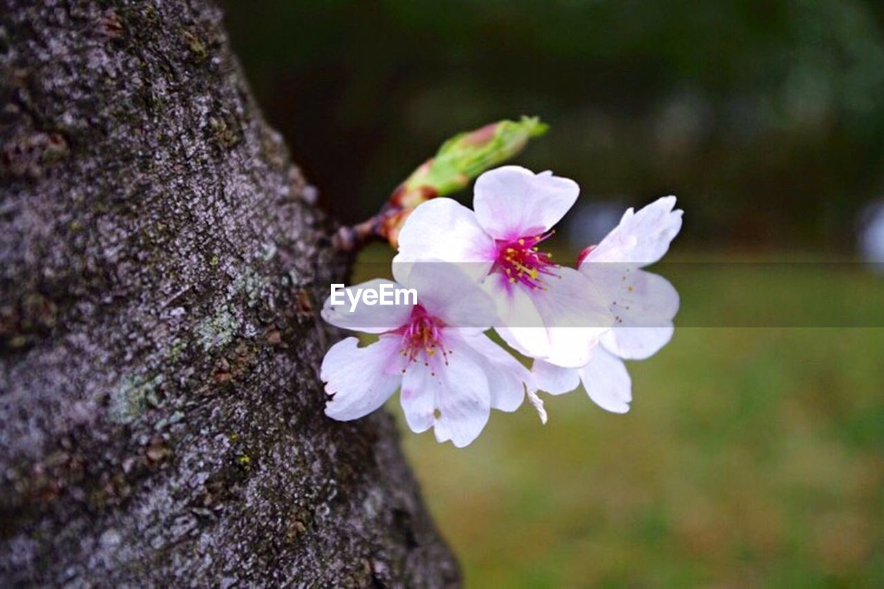 flower, nature, white color, fragility, growth, petal, beauty in nature, day, no people, close-up, tree, flower head, outdoors, focus on foreground, springtime, freshness