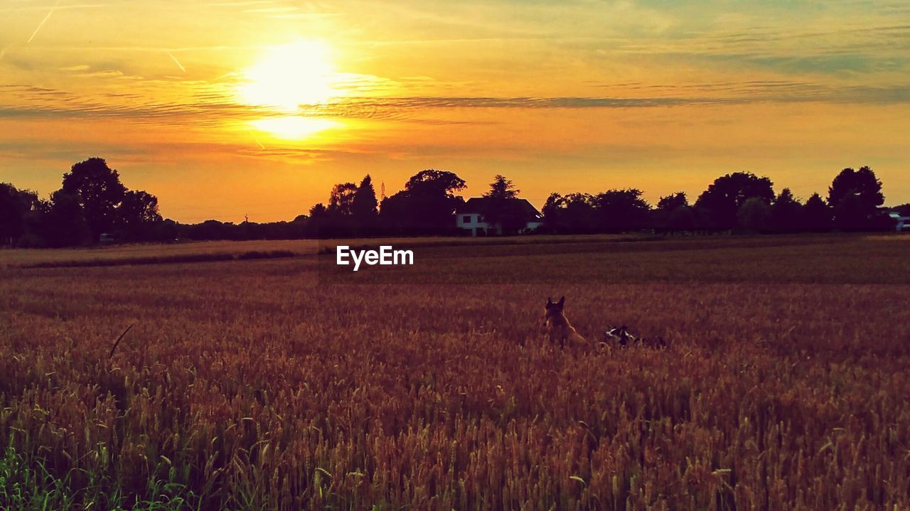 sunset, nature, field, sky, silhouette, orange color, beauty in nature, scenics, tranquility, landscape, tranquil scene, sun, cloud - sky, grass, outdoors, animal themes, growth, agriculture, rural scene, tree, mammal, no people, domestic animals