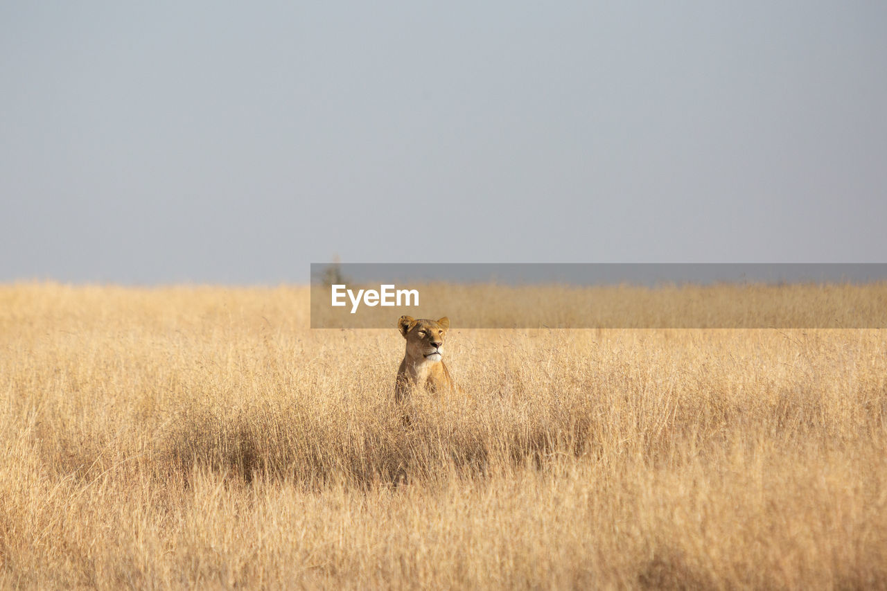 Lioness sitting on grassy land against clear sky