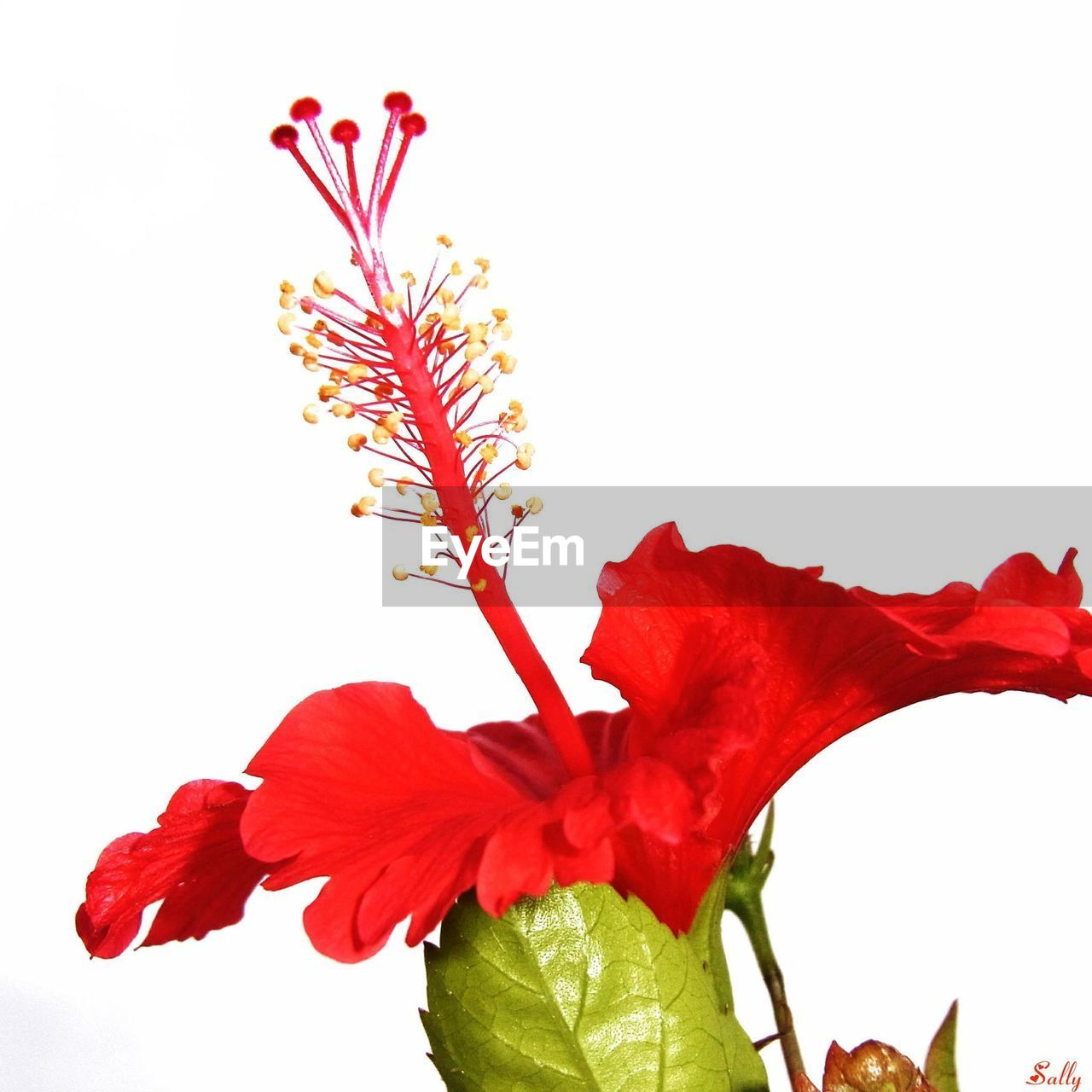 flower, petal, red, fragility, white background, beauty in nature, flower head, freshness, studio shot, nature, plant, no people, growth, close-up, leaf, springtime, blooming, hibiscus, outdoors, day