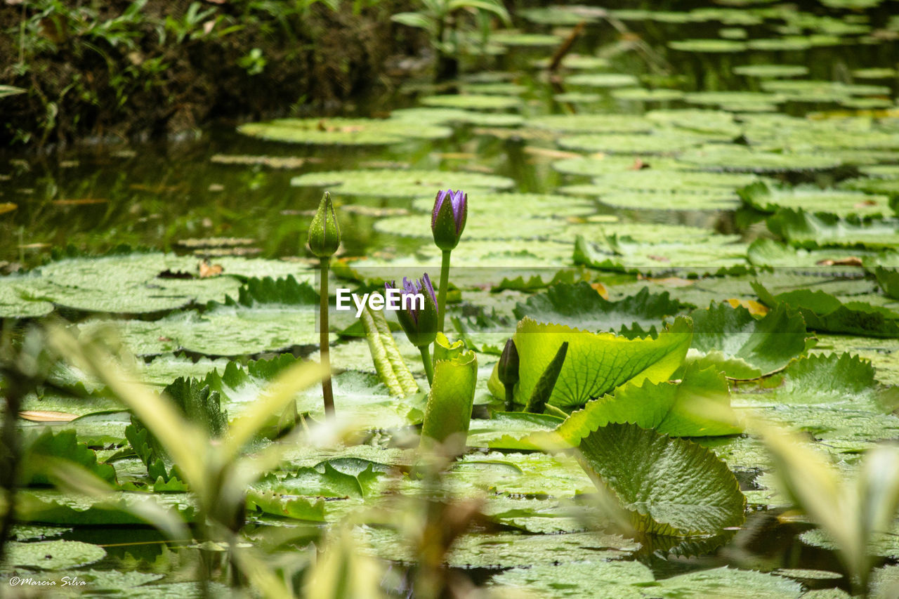 growth, nature, plant, flower, fragility, beauty in nature, freshness, leaf, selective focus, green color, no people, outdoors, day, water lily, close-up, water, flower head