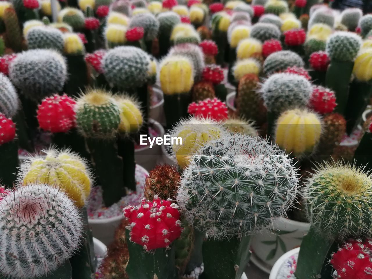 cactus, succulent plant, growth, close-up, flower, plant, no people, flowering plant, thorn, beauty in nature, focus on foreground, freshness, day, nature, full frame, flower head, spiked, green color, backgrounds, barrel cactus, outdoors, softness