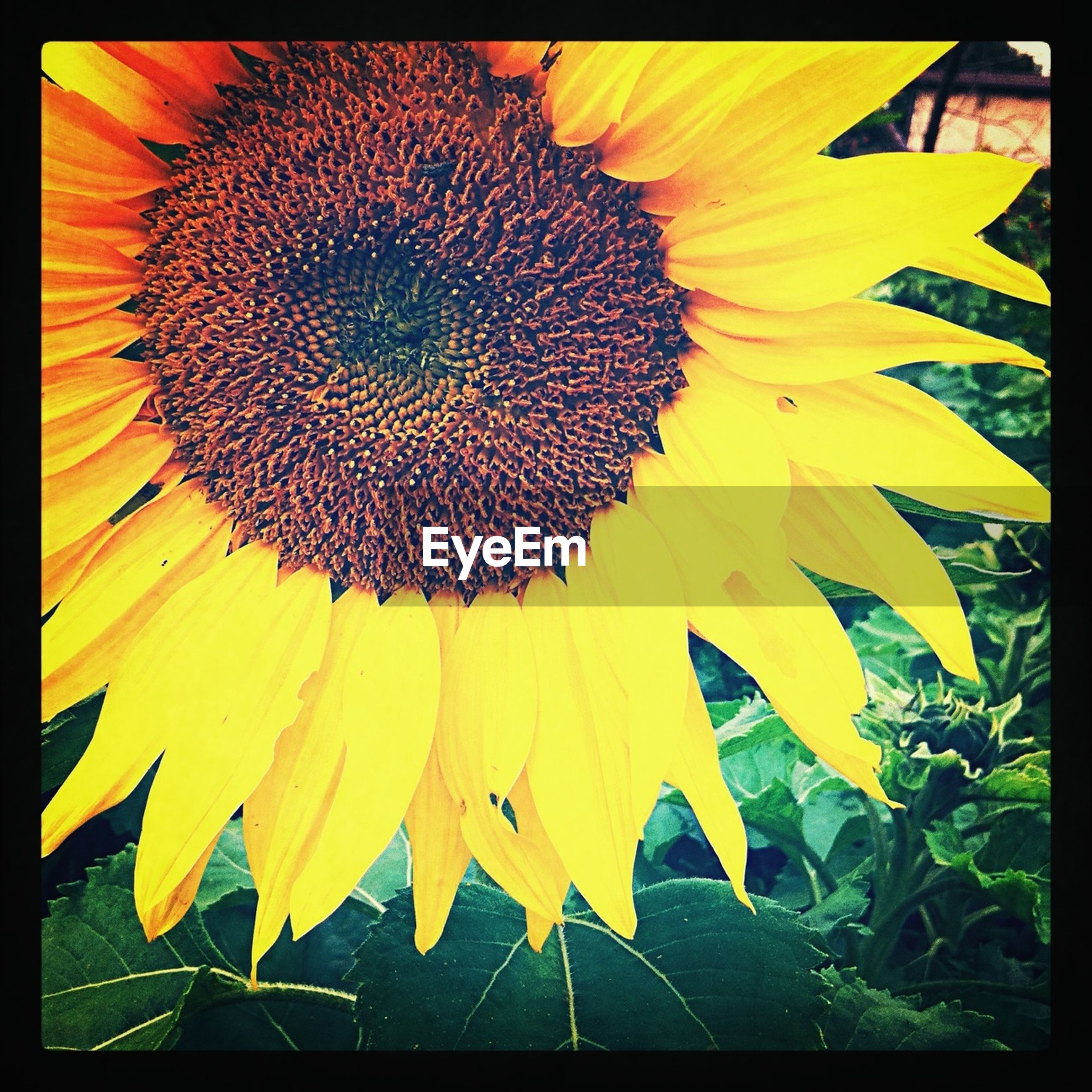 flower, yellow, sunflower, flower head, transfer print, freshness, fragility, petal, growth, pollen, single flower, auto post production filter, beauty in nature, leaf, nature, close-up, plant, blooming, outdoors, in bloom