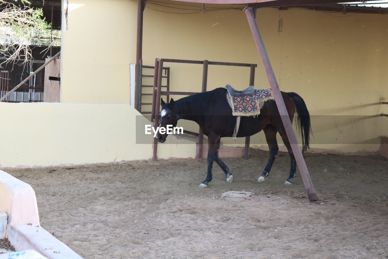horse, domestic animals, mammal, animal themes, one animal, herbivorous, livestock, day, outdoors, no people, nature