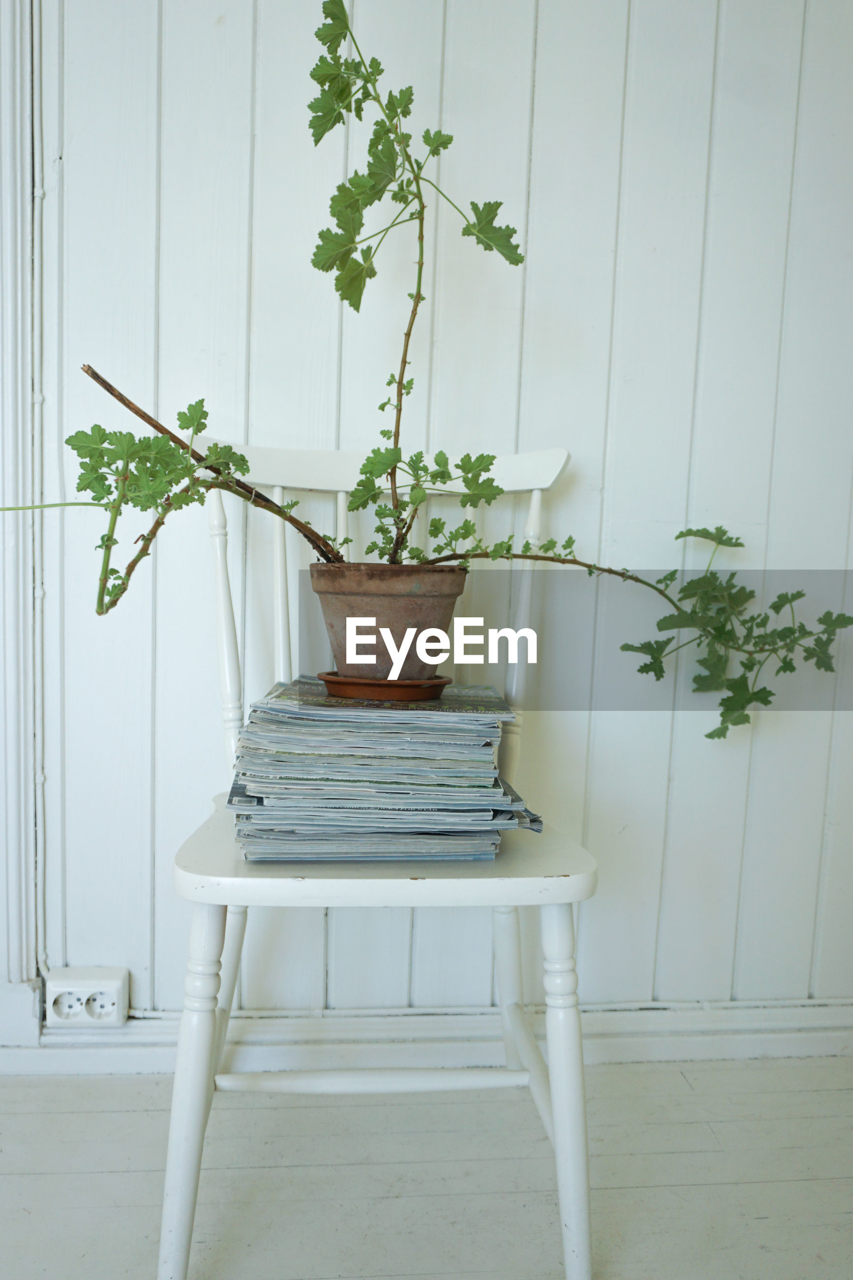 Pelargonium asp, lemon plant on magazines and an old chair