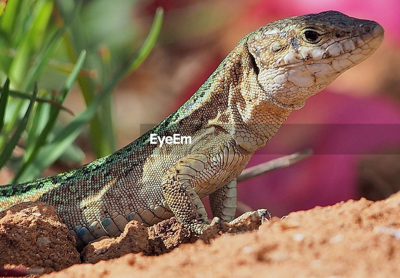 Close-up side view of a reptile against blurred background