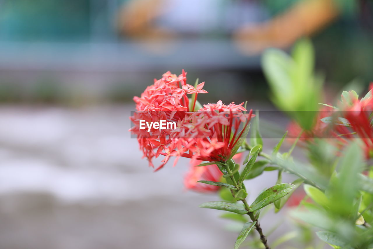 flowering plant, flower, beauty in nature, plant, fragility, growth, vulnerability, close-up, freshness, petal, red, flower head, inflorescence, leaf, nature, plant part, day, selective focus, focus on foreground, no people, outdoors