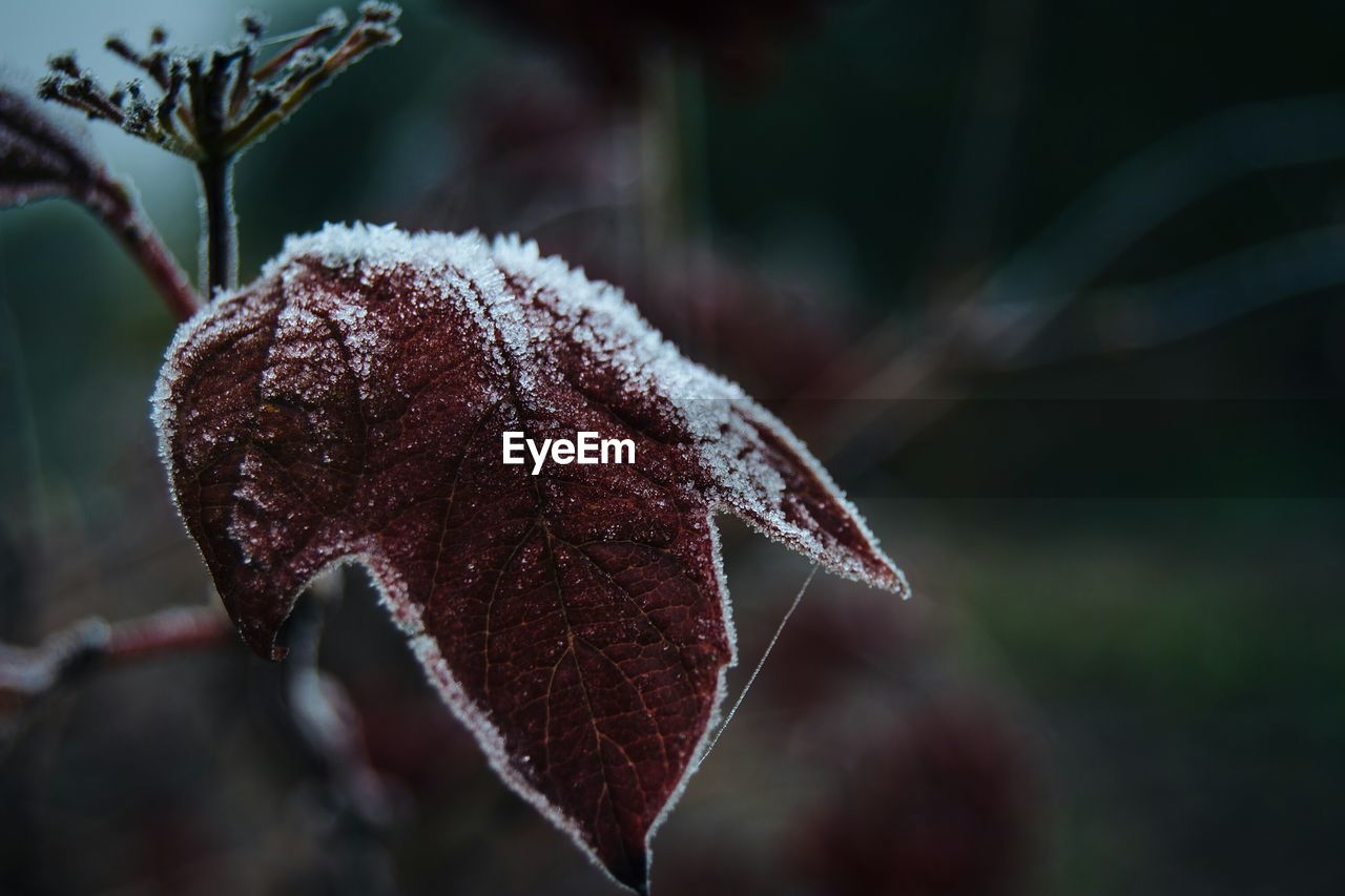 autumn, leaf, nature, close-up, change, focus on foreground, beauty in nature, cold temperature, dry, outdoors, winter, day, no people, fragility, growth, branch, tree, maple