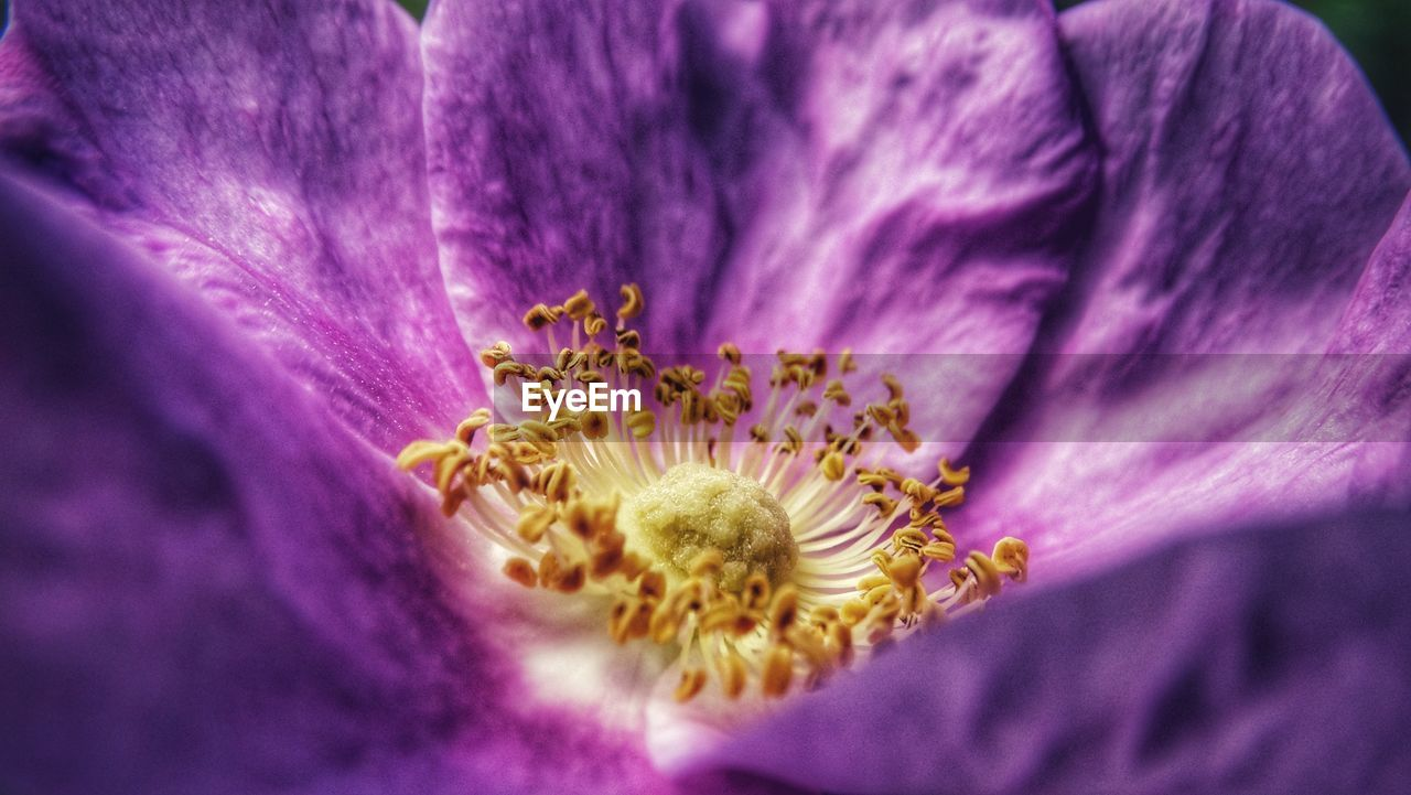 flower, flowering plant, vulnerability, fragility, plant, freshness, petal, beauty in nature, purple, inflorescence, flower head, growth, close-up, pollen, nature, no people, selective focus, day, stamen, outdoors